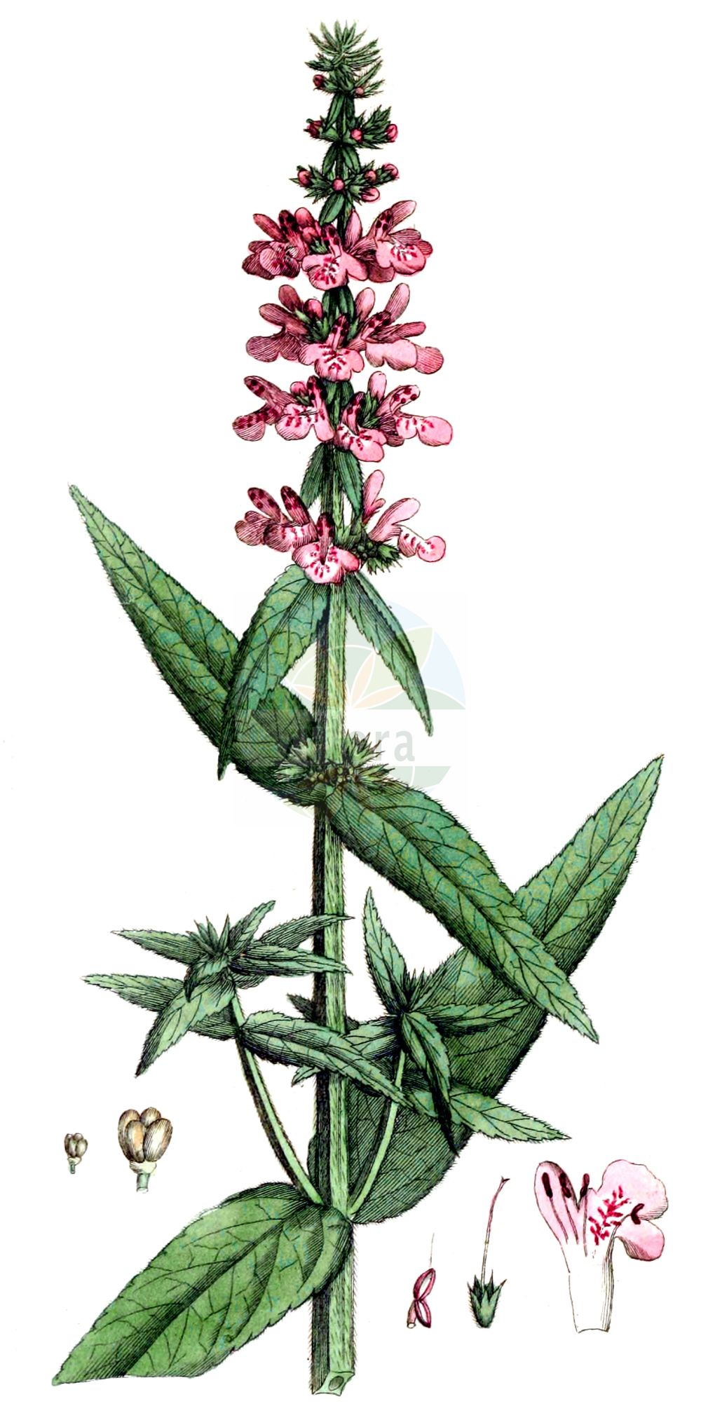Historische Abbildung von Stachys palustris (Sumpf-Ziest - Marsh Woundwort). Das Bild zeigt Blatt, Bluete, Frucht und Same. ---- Historical Drawing of Stachys palustris (Sumpf-Ziest - Marsh Woundwort).The image is showing leaf, flower, fruit and seed.(Stachys palustris,Sumpf-Ziest,Marsh Woundwort,Stachys aquatica,Stachys austriaca,Stachys maeotica,Stachys palustris,Stachys segetum,Stachys wolgensis,Sumpf-Ziest,Schweinsruebe,Marsh Woundwort,Marsh Betony,Marsh Hedgenettle,Smooth Hedgenettle,Woundwort,Stachys,Ziest,Hedgenettle,Lamiaceae,Lippenbluetengewaechse,Lippenbluetler,Nettle family,Blatt,Bluete,Frucht,Same,leaf,flower,fruit,seed,Palmstruch (1807-1843))