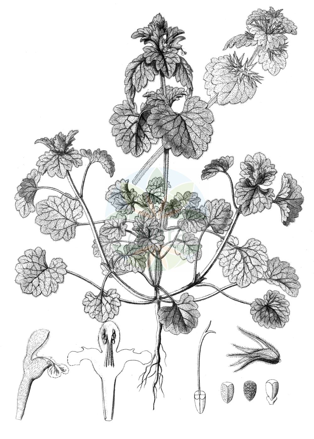 Historische Abbildung von Lamium confertum (Mittlere Taubnessel - Northern Dead-nettle). Das Bild zeigt Blatt, Bluete, Frucht und Same. ---- Historical Drawing of Lamium confertum (Mittlere Taubnessel - Northern Dead-nettle).The image is showing leaf, flower, fruit and seed.(Lamium confertum,Mittlere Taubnessel,Northern Dead-nettle,Lamium confertum,Lamium coutinhoi,Lamium intermedium,Mittlere Taubnessel,Northern Dead-nettle,Intermediate Deadnettle,Lamium,Taubnessel,Deadnettle,Lamiaceae,Lippenbluetengewaechse,Lippenbluetler,Nettle family,Blatt,Bluete,Frucht,Same,leaf,flower,fruit,seed,Reichenbach (1823-1832))
