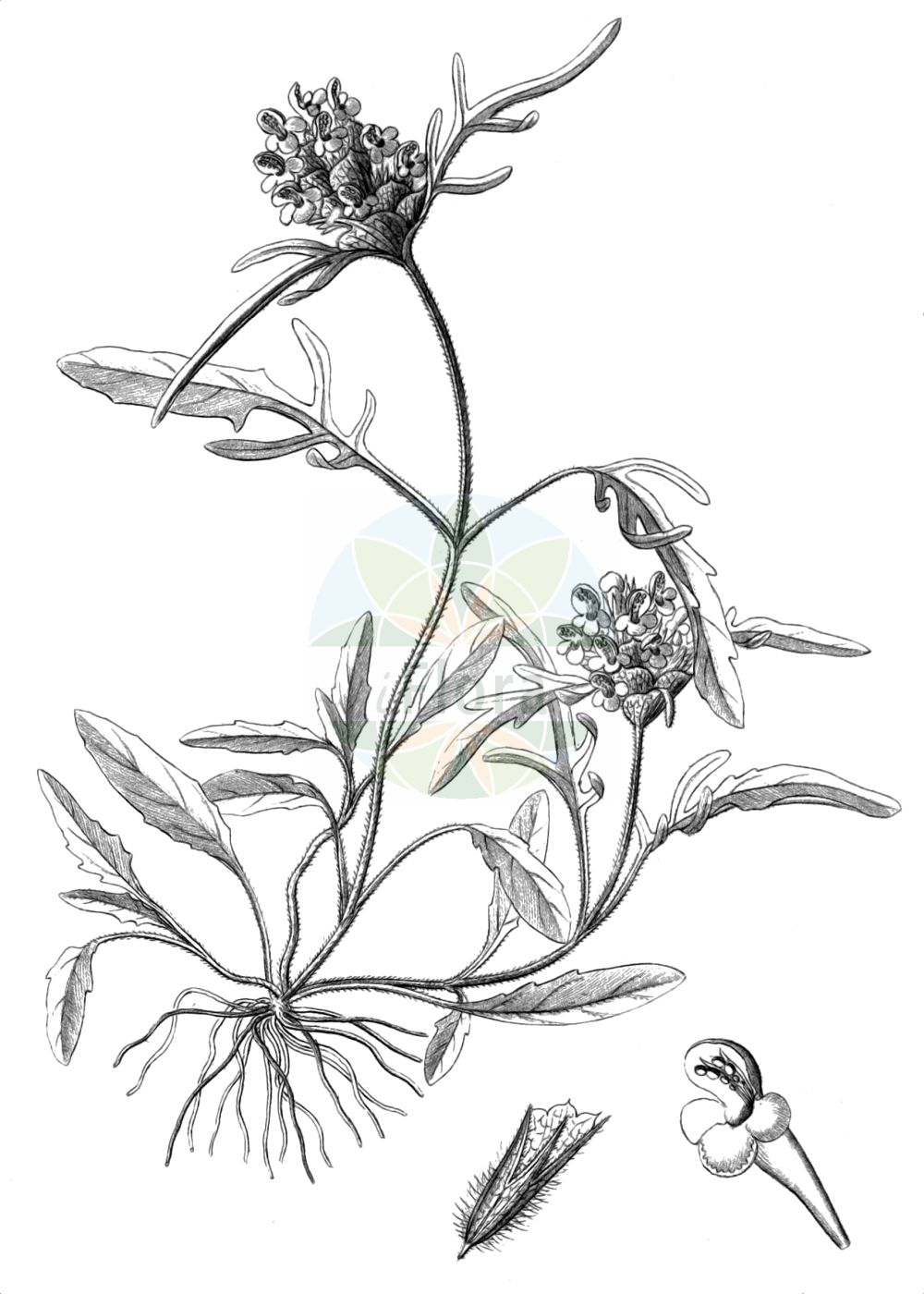 Historische Abbildung von Prunella laciniata (Weisse Braunelle - Cut-leaved Selfheal). Das Bild zeigt Blatt, Bluete, Frucht und Same. ---- Historical Drawing of Prunella laciniata (Weisse Braunelle - Cut-leaved Selfheal).The image is showing leaf, flower, fruit and seed.(Prunella laciniata,Weisse Braunelle,Cut-leaved Selfheal,Prunella afriquena,Prunella alba,Prunella integerrima,Prunella laciniata,Prunella sulphurea,Prunella vulgaris var. laciniata,Weisse Braunelle,Schlitzblaettrige Braunelle,Schlitzblaettrige Brunelle,Weisse Brunelle,Cut-leaved Selfheal,Cutleaf Selfheal,White Selfheal,Prunella,Braunelle,Selfheal,Lamiaceae,Lippenbluetengewaechse,Lippenbluetler,Nettle family,Blatt,Bluete,Frucht,Same,leaf,flower,fruit,seed,Reichenbach (1823-1832))