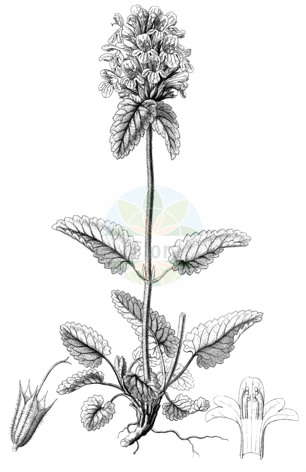 Historische Abbildung von Stachys pradica. Das Bild zeigt Blatt, Bluete, Frucht und Same. ---- Historical Drawing of Stachys pradica.The image is showing leaf, flower, fruit and seed.(Stachys pradica,Betonica alpestris,Betonica pradica,Betonica rubicunda,Stachys densiflora,Stachys hirsuta,Stachys pradica,Betonica densiflora,Stachys,Ziest,Hedgenettle,Lamiaceae,Lippenbluetengewaechse,Lippenbluetler,Nettle family,Blatt,Bluete,Frucht,Same,leaf,flower,fruit,seed,Reichenbach (1823-1832))