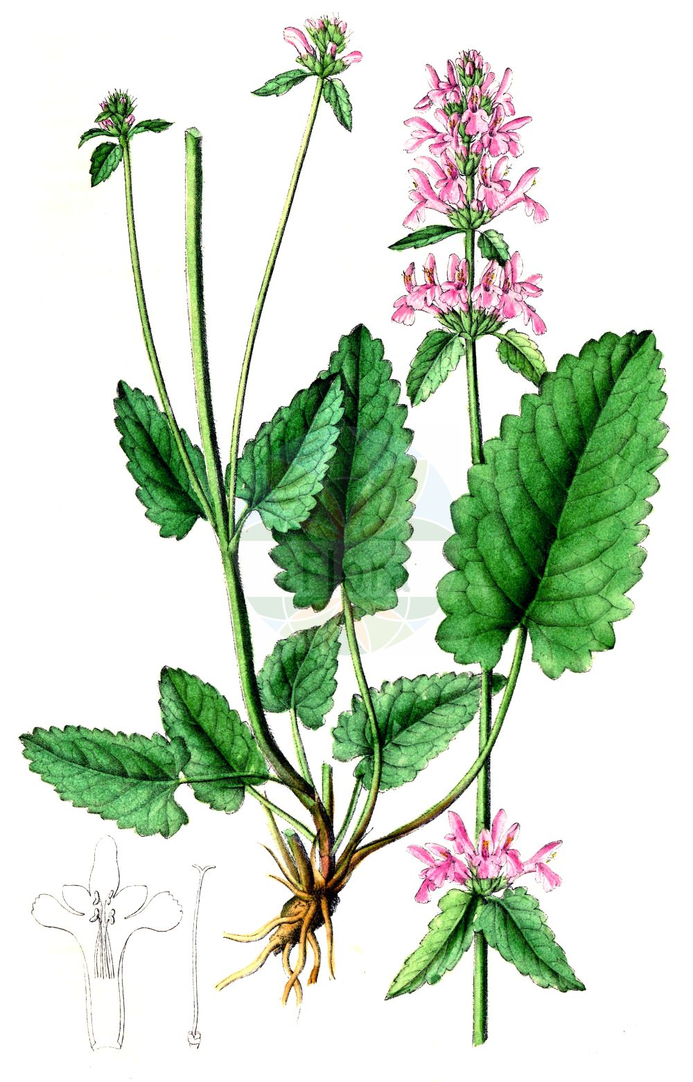 Historische Abbildung von Stachys officinalis subsp. officinalis (Heil-Ziest - Betony). Das Bild zeigt Blatt, Bluete, Frucht und Same. ---- Historical Drawing of Stachys officinalis subsp. officinalis (Heil-Ziest - Betony).The image is showing leaf, flower, fruit and seed.(Stachys officinalis subsp. officinalis,Heil-Ziest,Betony,Stachys stricta,Heil-Ziest,Betony,Stachys,Ziest,Hedgenettle,Lamiaceae,Lippenbluetengewaechse,Lippenbluetler,Nettle family,Blatt,Bluete,Frucht,Same,leaf,flower,fruit,seed,Dietrich (1833-1844))
