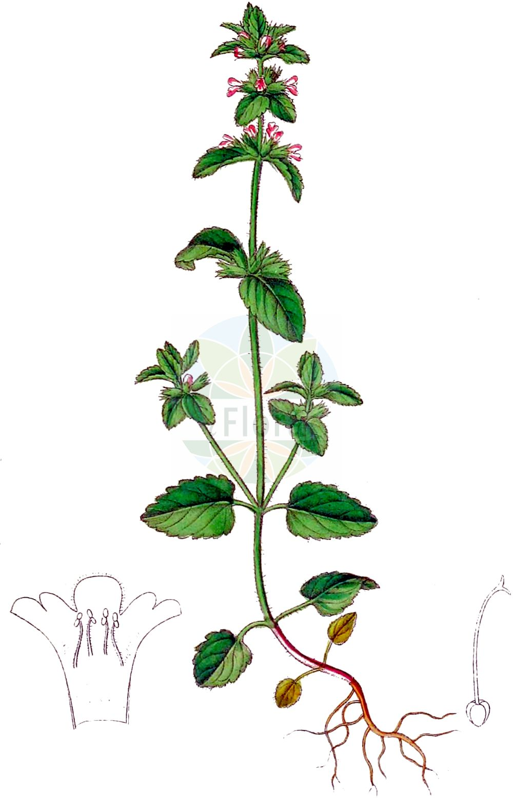 Historische Abbildung von Stachys arvensis (Acker-Ziest - Field Woundwort). Das Bild zeigt Blatt, Bluete, Frucht und Same. ---- Historical Drawing of Stachys arvensis (Acker-Ziest - Field Woundwort).The image is showing leaf, flower, fruit and seed.(Stachys arvensis,Acker-Ziest,Field Woundwort,Cardiaca arvensis,Glechoma arvensis,Glechoma belgica,Glechoma marrubiastrum,Stachys arvensis,Stachys brasiliensis,Trixago arvensis,Trixago colorata,Trixago cordifolia,Trixago punctata,Trixella arvensis,Acker-Ziest,Field Woundwort,Corn Woundwort,Field-nettle Betony,Staggerweed,Stachys,Ziest,Hedgenettle,Lamiaceae,Lippenbluetengewaechse,Lippenbluetler,Nettle family,Blatt,Bluete,Frucht,Same,leaf,flower,fruit,seed,Dietrich (1833-1844))