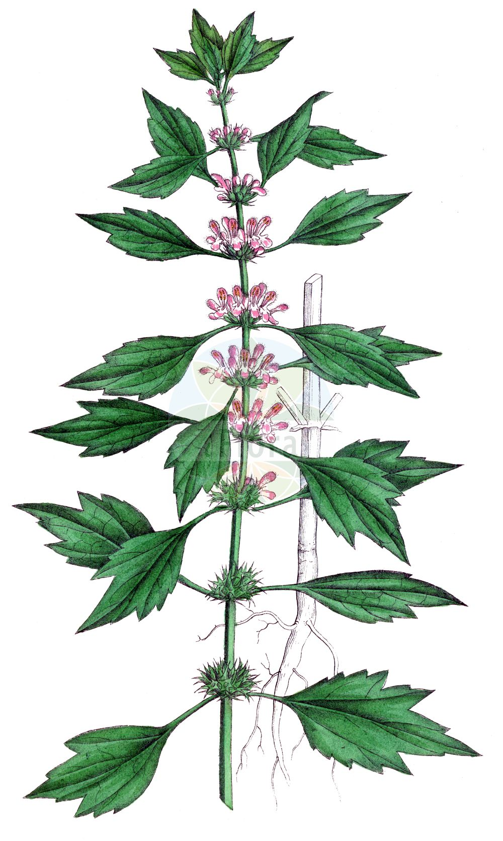 Historische Abbildung von Chaiturus marrubiastrum (Filziges Herzgespann - False Motherwort). Das Bild zeigt Blatt, Bluete, Frucht und Same. ---- Historical Drawing of Chaiturus marrubiastrum (Filziges Herzgespann - False Motherwort).The image is showing leaf, flower, fruit and seed.(Chaiturus marrubiastrum,Filziges Herzgespann,False Motherwort,Cardiaca marrubiastrum,Chaiturus leonuroides,Chaiturus marrubiastrum,Chaiturus marrubifolius,Leonurus marrubiastrum,Leonurus marrubifolius,Leonurus parviflorus,Filziges Herzgespann,Andorn-Loewenschwanz,Falscher Andorn,Katzenschwanz,False Motherwort,Lion's Tail,Horehound Motherwort,Chaiturus,Lamiaceae,Lippenbluetengewaechse,Lippenbluetler,Nettle family,Blatt,Bluete,Frucht,Same,leaf,flower,fruit,seed,Dietrich (1833-1844))