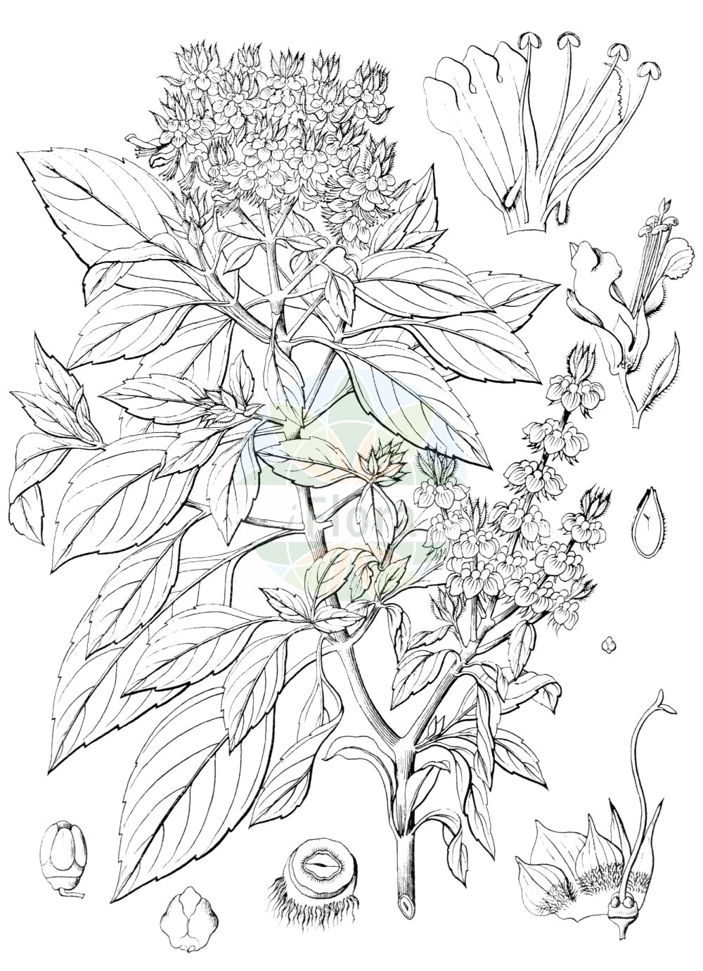 Historische Abbildung von Ocimum basilicum. Das Bild zeigt Blatt, Bluete, Frucht und Same. ---- Historical Drawing of Ocimum basilicum.The image is showing leaf, flower, fruit and seed.(Ocimum basilicum,Ocimum album,Ocimum anisatum,Ocimum barrelieri,Ocimum basilicum,Ocimum bullatum,Ocimum caryophyllatum,Ocimum chevalieri,Ocimum ciliare,Ocimum ciliatum,Ocimum citrodorum,Ocimum cochleatum,Ocimum dentatum,Ocimum hispidum,Ocimum integerrimum,Ocimum lanceolatum,Ocimum laxum,Ocimum majus,Ocimum medium,Ocimum minus,Ocimum nigrum,Ocimum odorum,Ocimum scabrum,Ocimum simile,Ocimum thyrsiflorum,Ocimum urticifolium,Plectranthus barrelieri,Ocimum,Lamiaceae,Lippenbluetengewaechse,Lippenbluetler,Nettle family,Blatt,Bluete,Frucht,Same,leaf,flower,fruit,seed,Wight (1840-1850))