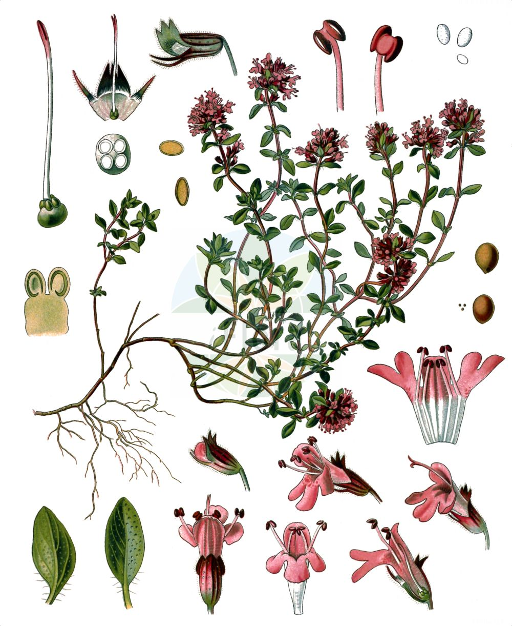 Historische Abbildung von Thymus serpyllum (Gewoehnlicher Sand-Thymian - Breckland Thyme). Das Bild zeigt Blatt, Bluete, Frucht und Same. ---- Historical Drawing of Thymus serpyllum (Gewoehnlicher Sand-Thymian - Breckland Thyme).The image is showing leaf, flower, fruit and seed.(Thymus serpyllum,Gewoehnlicher Sand-Thymian,Breckland Thyme,Origanum serpyllum,Serpyllum vulgare,Thymus serpyllum,Gewoehnlicher Sand-Thymian,Innsbrucker Quendel,Innsbrucker Thymian,Sand-Quendel,Sand-Thymian,Tiroler Quendel,Breckland Thyme,Breckland Garden,Creeping Thyme,Mother-of-Thyme,Thymus,Thymian,Thyme,Lamiaceae,Lippenbluetengewaechse,Lippenbluetler,Nettle family,Blatt,Bluete,Frucht,Same,leaf,flower,fruit,seed,Koehler (1883-1898))