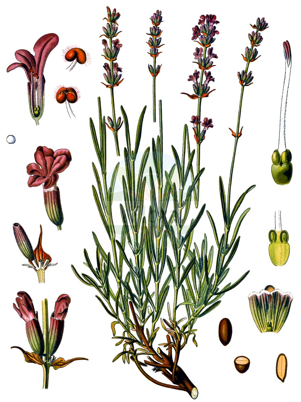 Historische Abbildung von Lavandula angustifolia (Echter Lavendel - Garden Lavender). Das Bild zeigt Blatt, Bluete, Frucht und Same. ---- Historical Drawing of Lavandula angustifolia (Echter Lavendel - Garden Lavender).The image is showing leaf, flower, fruit and seed.(Lavandula angustifolia,Echter Lavendel,Garden Lavender,Lavandula angustifolia,Echter Lavendel,Schmalblatt-Lavendel,Schmalblaettriger Lavendel,Garden Lavender,Common Lavender,English Lavender,Lavender,French Lavender,Lavandula,Lavendel,Lavender,Lamiaceae,Lippenbluetengewaechse,Lippenbluetler,Nettle family,Blatt,Bluete,Frucht,Same,leaf,flower,fruit,seed,Koehler (1883-1898))