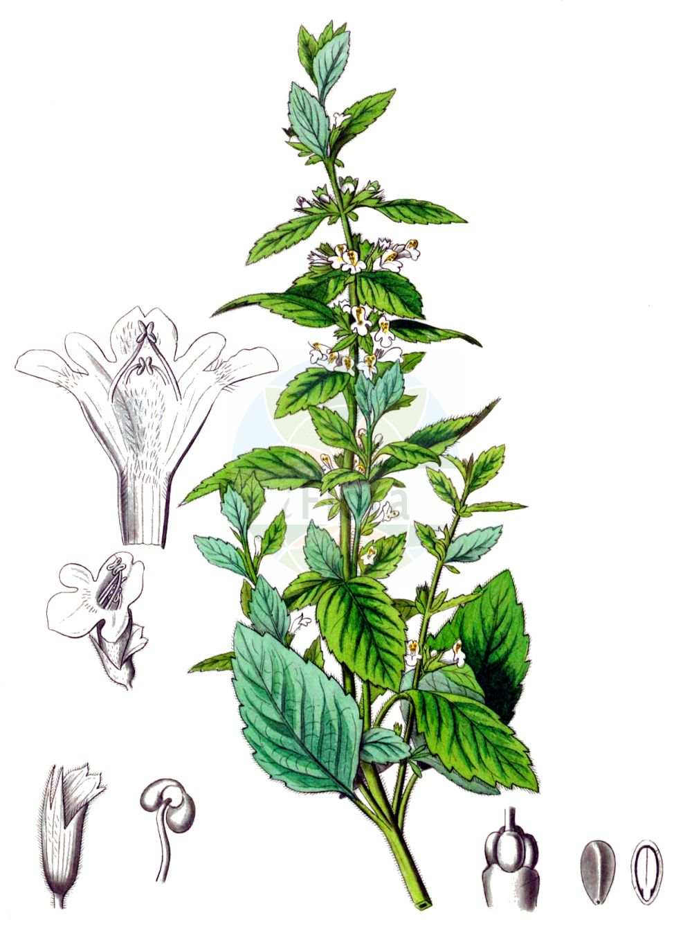 Historische Abbildung von Melissa officinalis (Zitronen-Melisse - Balm). Das Bild zeigt Blatt, Bluete, Frucht und Same. ---- Historical Drawing of Melissa officinalis (Zitronen-Melisse - Balm).The image is showing leaf, flower, fruit and seed.(Melissa officinalis,Zitronen-Melisse,Balm,Faucibarba officinalis,Melissa officinalis,Mutelia officinalis,Thymus melissa,Zitronen-Melisse,Balm,Common Balm,Bee Balm,Lemon Balm,Melissa,Melisse,Balm,Lamiaceae,Lippenbluetengewaechse,Lippenbluetler,Nettle family,Blatt,Bluete,Frucht,Same,leaf,flower,fruit,seed,Kohl (1891-1895))