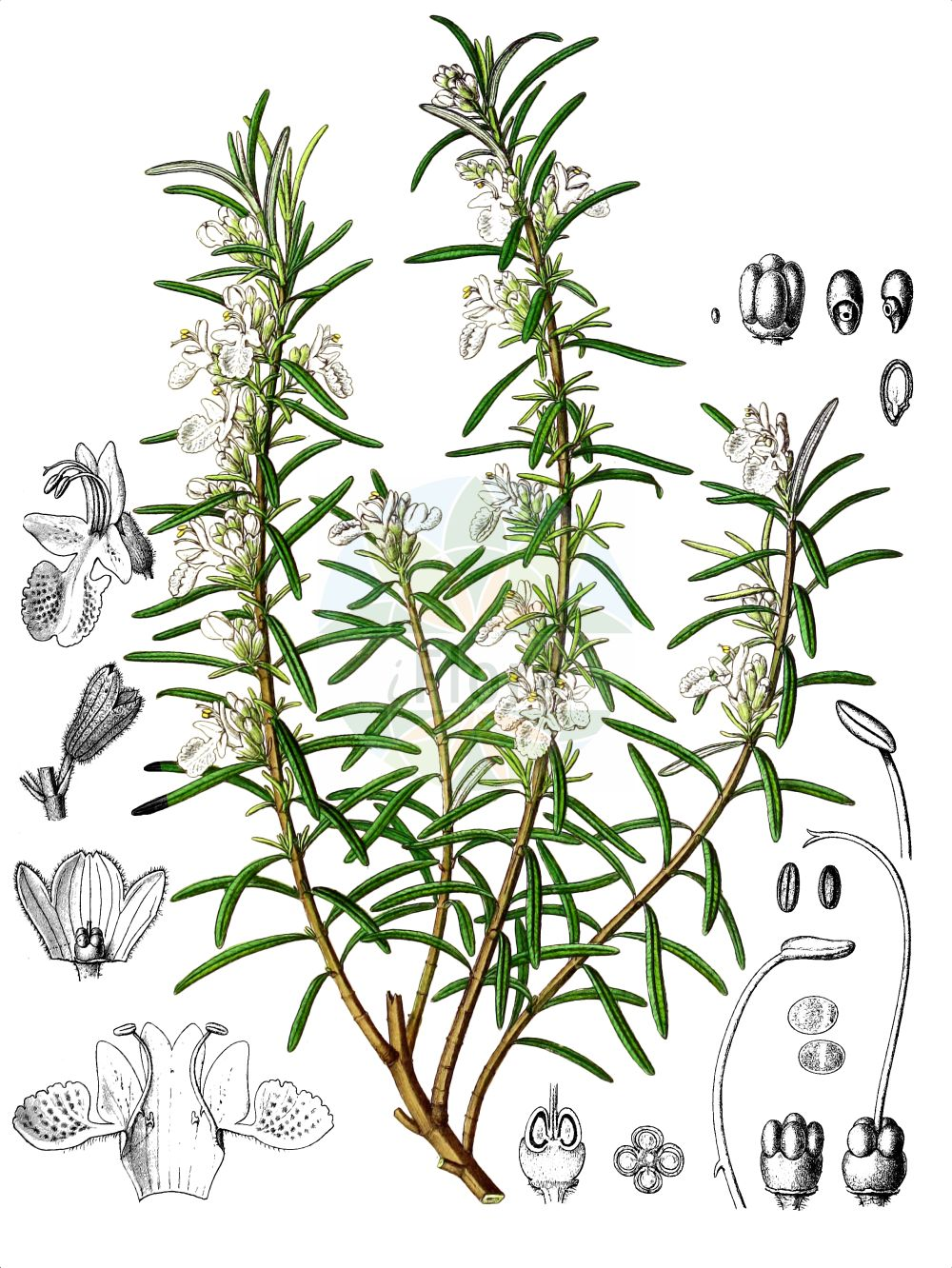 Historische Abbildung von Rosmarinus officinalis (Echter Rosmarin - Rosemary). Das Bild zeigt Blatt, Bluete, Frucht und Same. ---- Historical Drawing of Rosmarinus officinalis (Echter Rosmarin - Rosemary).The image is showing leaf, flower, fruit and seed.(Rosmarinus officinalis,Echter Rosmarin,Rosemary,Rosmarinus officinalis,Rosmarinus officinalis subsp. laxiflorus,Echter Rosmarin,Rosmarin,Rosemary,Garden Rosemary,Moorwort,Rosmarinus,Rosmarin,Rosemary,Lamiaceae,Lippenbluetengewaechse,Lippenbluetler,Nettle family,Blatt,Bluete,Frucht,Same,leaf,flower,fruit,seed,Berg & Schmidt (1894-1896))