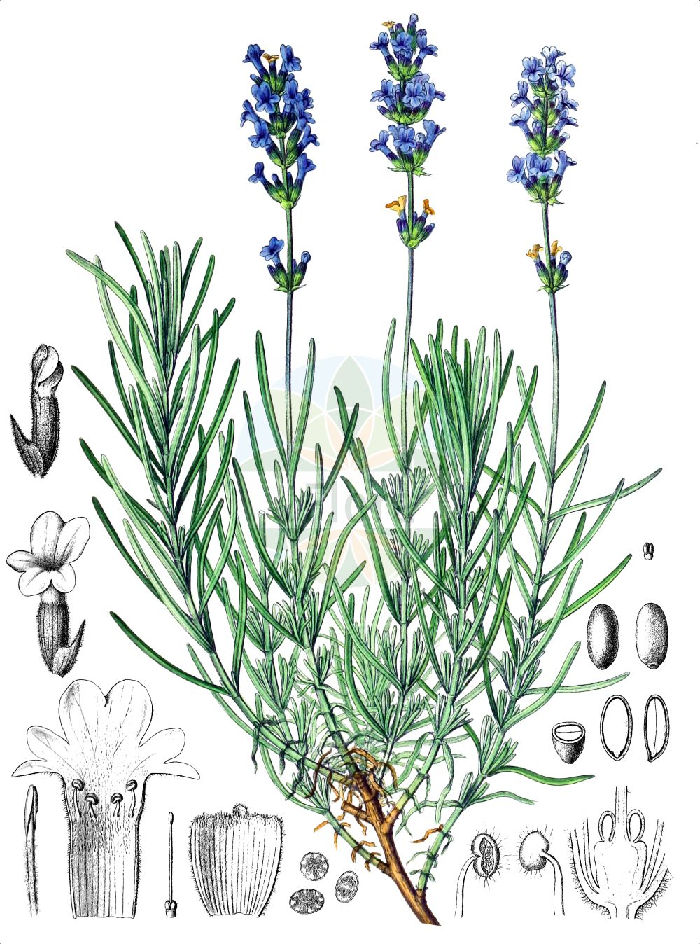 Historische Abbildung von Lavandula angustifolia (Echter Lavendel - Garden Lavender). Das Bild zeigt Blatt, Bluete, Frucht und Same. ---- Historical Drawing of Lavandula angustifolia (Echter Lavendel - Garden Lavender).The image is showing leaf, flower, fruit and seed.(Lavandula angustifolia,Echter Lavendel,Garden Lavender,Lavandula angustifolia,Echter Lavendel,Schmalblatt-Lavendel,Schmalblaettriger Lavendel,Garden Lavender,Common Lavender,English Lavender,Lavender,French Lavender,Lavandula,Lavendel,Lavender,Lamiaceae,Lippenbluetengewaechse,Lippenbluetler,Nettle family,Blatt,Bluete,Frucht,Same,leaf,flower,fruit,seed,Berg & Schmidt (1894-1896))