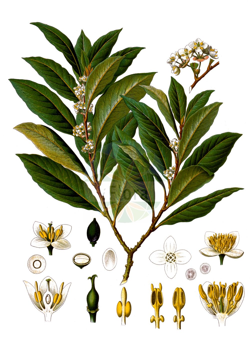 Historische Abbildung von Laurus nobilis. Das Bild zeigt Blatt, Bluete, Frucht und Same. ---- Historical Drawing of Laurus nobilis.The image is showing leaf, flower, fruit and seed.(Laurus nobilis,Laurus nobilis,Laurus,Lauraceae,Blatt,Bluete,Frucht,Same,leaf,flower,fruit,seed,Koehler (1883-1898))