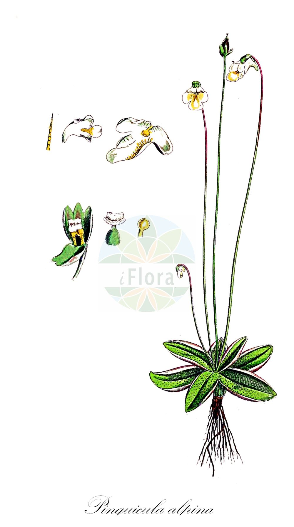 Historische Abbildung von Pinguicula alpina (Alpen-Fettkraut - Alpine Butterwort). Das Bild zeigt Blatt, Bluete, Frucht und Same. ---- Historical Drawing of Pinguicula alpina (Alpen-Fettkraut - Alpine Butterwort).The image is showing leaf, flower, fruit and seed.(Pinguicula alpina,Alpen-Fettkraut,Alpine Butterwort,subsp. gavei,Pinguicula,Fettkraut,Butterwort,Lentibulariaceae,Wasserschlauchgewaechse,Bladderwort family,Blatt,Bluete,Frucht,Same,leaf,flower,fruit,seed,Sowerby (1790-1813))