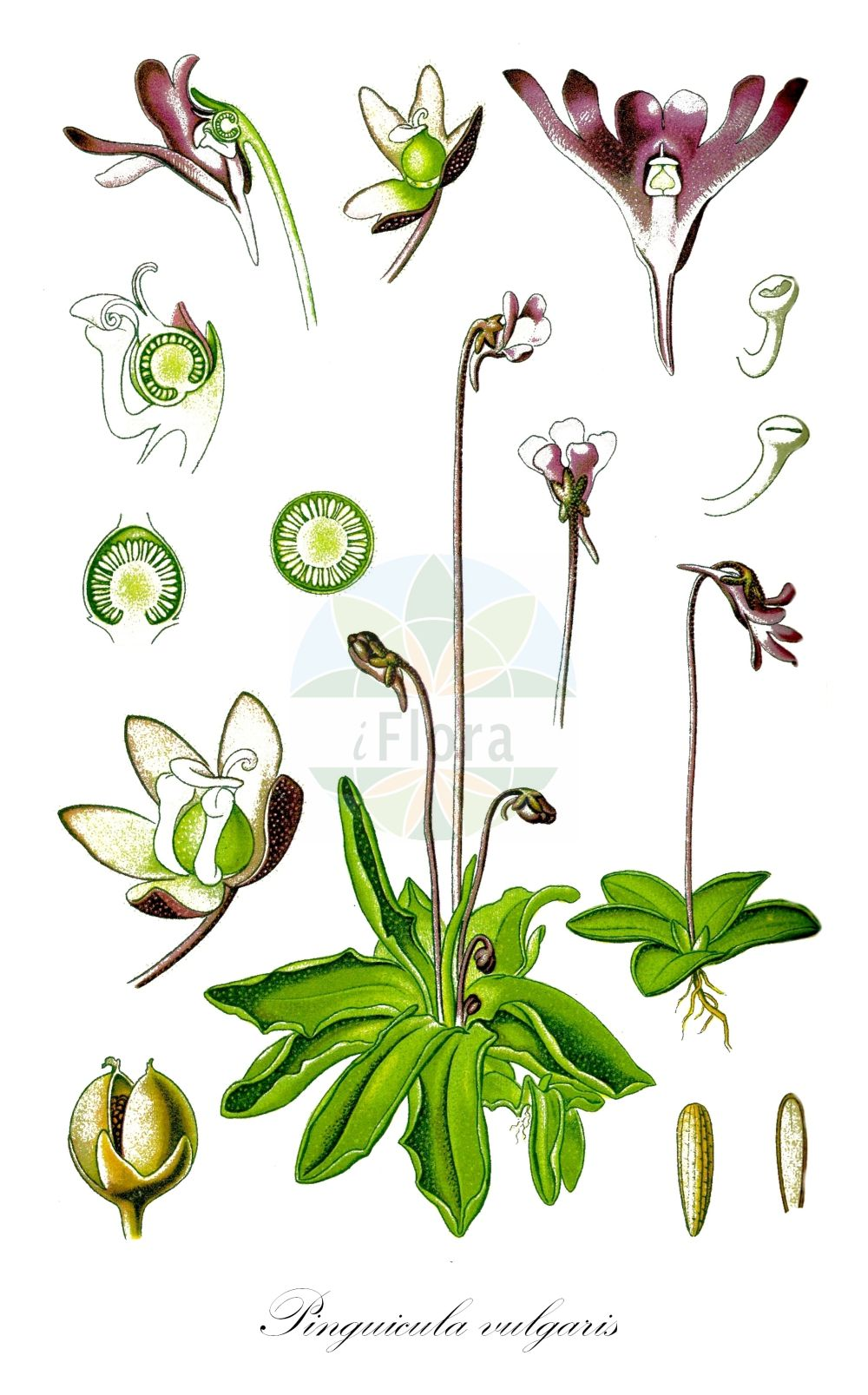 Historische Abbildung von Pinguicula vulgaris (Gewoehnliches Fettkraut - Common Butterwort). ---- Historical Drawing of Pinguicula vulgaris (Gewoehnliches Fettkraut - Common Butterwort).(Pinguicula vulgaris,Gewoehnliches Fettkraut,Common Butterwort,Pinguicula bicolor,Pinguicula gypsophila,Pinguicula norica,subsp. bicolor,Beanweed,Butterwort,Pinguicula,Fettkraut,Butterwort,Lentibulariaceae,Wasserschlauchgewaechse,Bladderwort family,Thomé (1885))