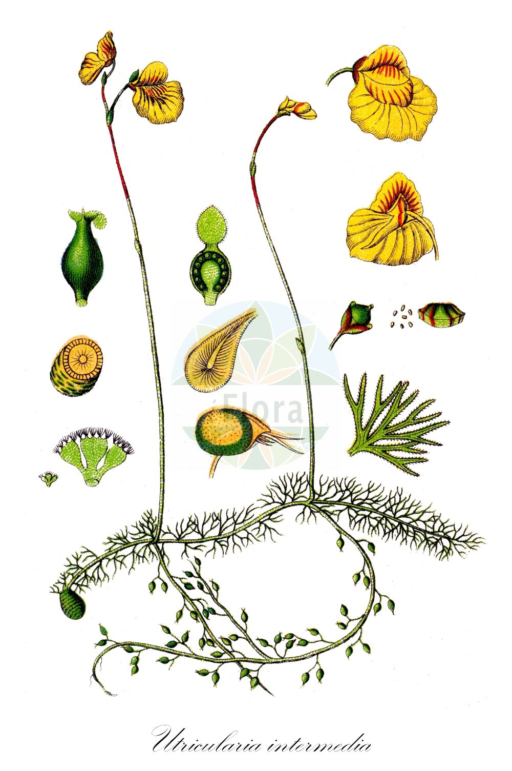 Historische Abbildung von Utricularia intermedia (Mittlerer Wasserschlauch - Intermediate Bladderwort). Das Bild zeigt Blatt, Bluete, Frucht und Same. ---- Historical Drawing of Utricularia intermedia (Mittlerer Wasserschlauch - Intermediate Bladderwort).The image is showing leaf, flower, fruit and seed.(Utricularia intermedia,Mittlerer Wasserschlauch,Intermediate Bladderwort,Flatleaf Bladderwort,Mountain Bladderwort,Utricularia,Wasserschlauch,Bladderwort,Lentibulariaceae,Wasserschlauchgewaechse,Bladderwort family,Blatt,Bluete,Frucht,Same,leaf,flower,fruit,seed,Sturm (1796f))