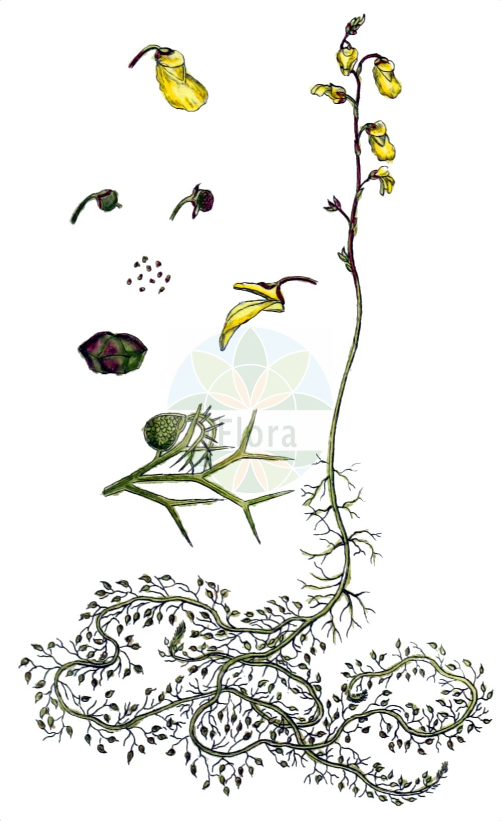 Historische Abbildung von Utricularia minor (Kleiner Wasserschlauch - Lesser Bladderwort). Das Bild zeigt Blatt, Bluete, Frucht und Same. ---- Historical Drawing of Utricularia minor (Kleiner Wasserschlauch - Lesser Bladderwort).The image is showing leaf, flower, fruit and seed.(Utricularia minor,Kleiner Wasserschlauch,Lesser Bladderwort,Utricularia minor,Kleiner Wasserschlauch,Kleiner Wasserschlauch,Lesser Bladderwort,Utricularia,Wasserschlauch,Bladderwort,Lentibulariaceae,Wasserschlauchgewaechse,Bladderwort family,Blatt,Bluete,Frucht,Same,leaf,flower,fruit,seed,Sturm (1796f))