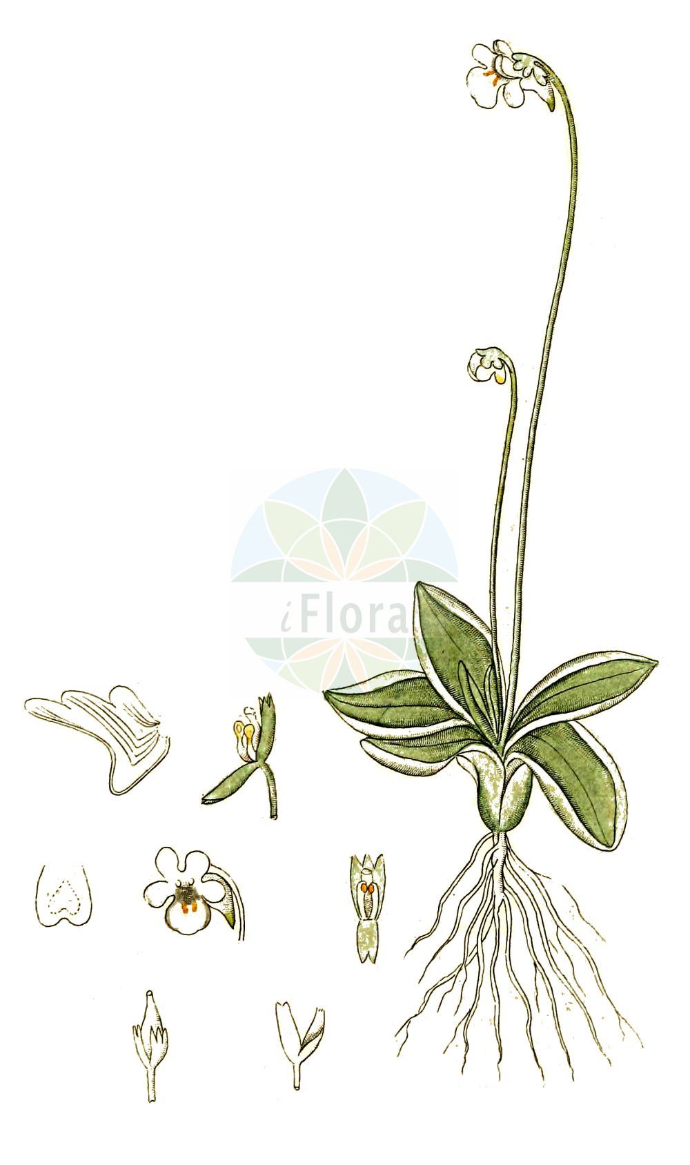 Historische Abbildung von Pinguicula alpina (Alpen-Fettkraut - Alpine Butterwort). Das Bild zeigt Blatt, Bluete, Frucht und Same. ---- Historical Drawing of Pinguicula alpina (Alpen-Fettkraut - Alpine Butterwort).The image is showing leaf, flower, fruit and seed.(Pinguicula alpina,Alpen-Fettkraut,Alpine Butterwort,Pinguicula alpina,Pinguicula alpina subsp. gavei,Alpen-Fettkraut,Alpine Butterwort,Pinguicula,Fettkraut,Butterwort,Lentibulariaceae,Wasserschlauchgewaechse,Bladderwort family,Blatt,Bluete,Frucht,Same,leaf,flower,fruit,seed,Palmstruch (1807-1843))