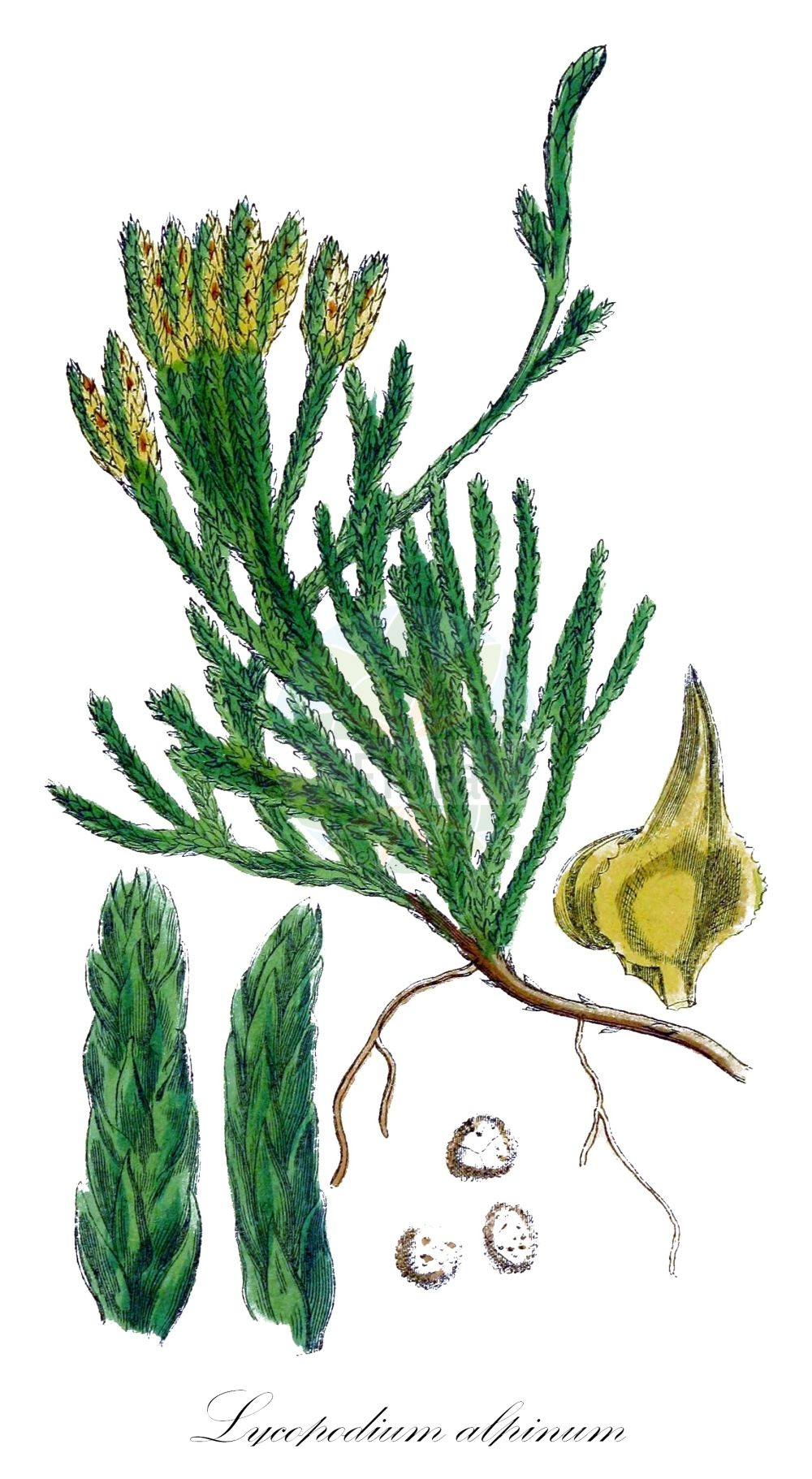 Historische Abbildung von Lycopodium alpinum (Alpen-Flachbaerlapp - Alpine Clubmoss). Das Bild zeigt Blatt, Bluete, Frucht und Same. ---- Historical Drawing of Lycopodium alpinum (Alpen-Flachbaerlapp - Alpine Clubmoss).The image is showing leaf, flower, fruit and seed.(Lycopodium alpinum,Alpen-Flachbaerlapp,Alpine Clubmoss,Diphasiastrum alpinum,Diphasiastrum kablikianum,Diphasium alpinum,subsp. kablikianum,Alpen-Baerlapp,Lycopodium,Baerlapp,Clubmoss,Lycopodiaceae,Baerlappgewaechse,Clubmoss family,Blatt,Bluete,Frucht,Same,leaf,flower,fruit,seed,Sowerby (1790-1813))