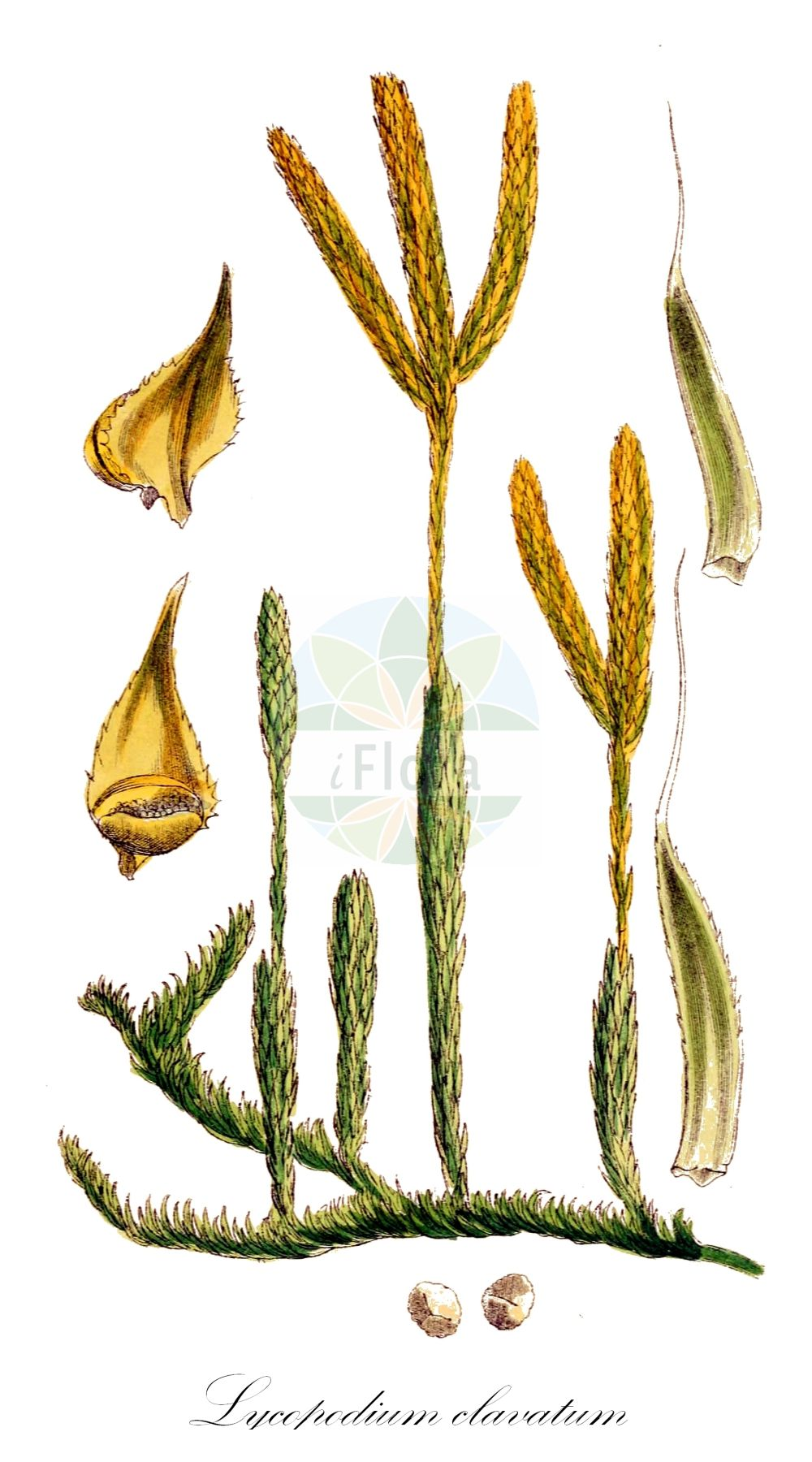 Historische Abbildung von Lycopodium clavatum (Keulen-Baerlapp - Stag's-horn Clubmoss). Das Bild zeigt Blatt, Bluete, Frucht und Same. ---- Historical Drawing of Lycopodium clavatum (Keulen-Baerlapp - Stag's-horn Clubmoss).The image is showing leaf, flower, fruit and seed.(Lycopodium clavatum,Keulen-Baerlapp,Stag's-horn Clubmoss,Lycopodium lagopus,Schlangenmoos,Drudenfuss,Wolfsraute,Common Clubmoss,One-cone Clubmoss,Running Clubmoss,Ground Pine,Lycopodium,Baerlapp,Clubmoss,Lycopodiaceae,Baerlappgewaechse,Clubmoss family,Blatt,Bluete,Frucht,Same,leaf,flower,fruit,seed,Sowerby (1790-1813))
