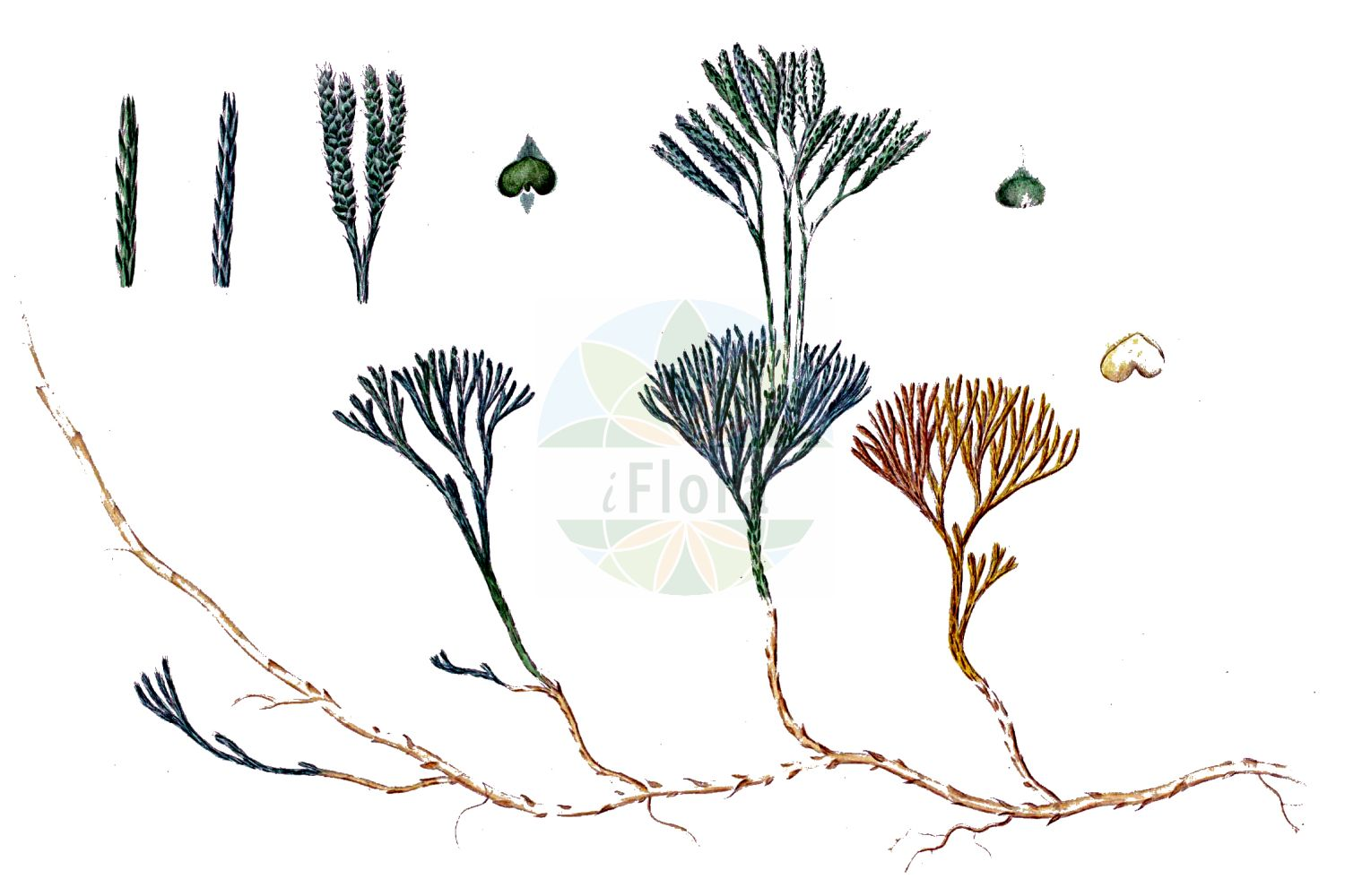 Historische Abbildung von Lycopodium complanatum (Gewoehnlicher Flachbaerlapp - Issler's Clubmoss). Das Bild zeigt Blatt, Bluete, Frucht und Same. ---- Historical Drawing of Lycopodium complanatum (Gewoehnlicher Flachbaerlapp - Issler's Clubmoss).The image is showing leaf, flower, fruit and seed.(Lycopodium complanatum,Gewoehnlicher Flachbaerlapp,Issler's Clubmoss,Diphasiastrum complanatum,Diphasium anceps,Diphasium complanatum,Lycopodium anceps,Lycopodium complanatum,Lycopodium complanatum subsp. montellii,Gewoehnlicher Flachbaerlapp,Gewoehnlicher Flachbaerlapp,Issler's Clubmoss,Flat-stemmed Clubmoss,Groundcedar,Complanate Clubmoss,Lycopodium,Baerlapp,Clubmoss,Lycopodiaceae,Baerlappgewaechse,Clubmoss family,Blatt,Bluete,Frucht,Same,leaf,flower,fruit,seed,Oeder (1761-1883))