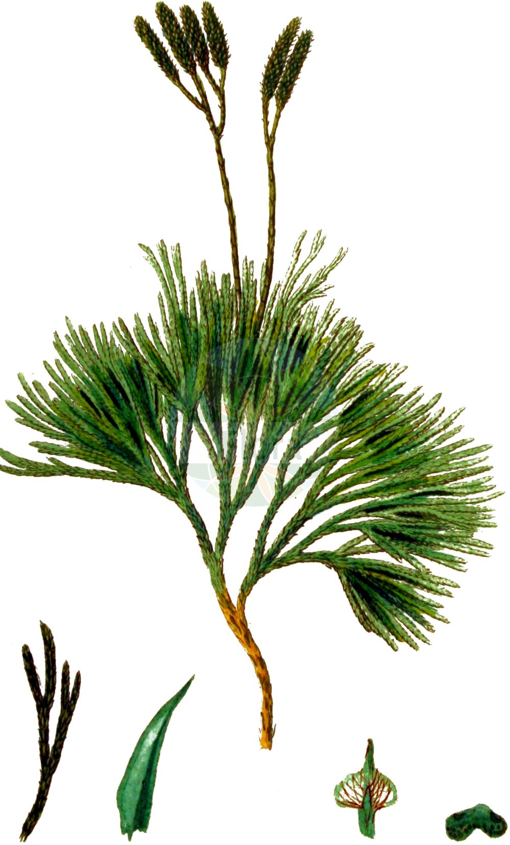 Historische Abbildung von Lycopodium complanatum (Gewoehnlicher Flachbaerlapp - Issler's Clubmoss). Das Bild zeigt Blatt, Bluete, Frucht und Same. ---- Historical Drawing of Lycopodium complanatum (Gewoehnlicher Flachbaerlapp - Issler's Clubmoss).The image is showing leaf, flower, fruit and seed.(Lycopodium complanatum,Gewoehnlicher Flachbaerlapp,Issler's Clubmoss,Diphasiastrum complanatum,Diphasium anceps,Diphasium complanatum,Lycopodium anceps,Lycopodium complanatum,Lycopodium complanatum subsp. montellii,Gewoehnlicher Flachbaerlapp,Gewoehnlicher Flachbaerlapp,Issler's Clubmoss,Flat-stemmed Clubmoss,Groundcedar,Complanate Clubmoss,Lycopodium,Baerlapp,Clubmoss,Lycopodiaceae,Baerlappgewaechse,Clubmoss family,Blatt,Bluete,Frucht,Same,leaf,flower,fruit,seed,Kops (1800-1934))