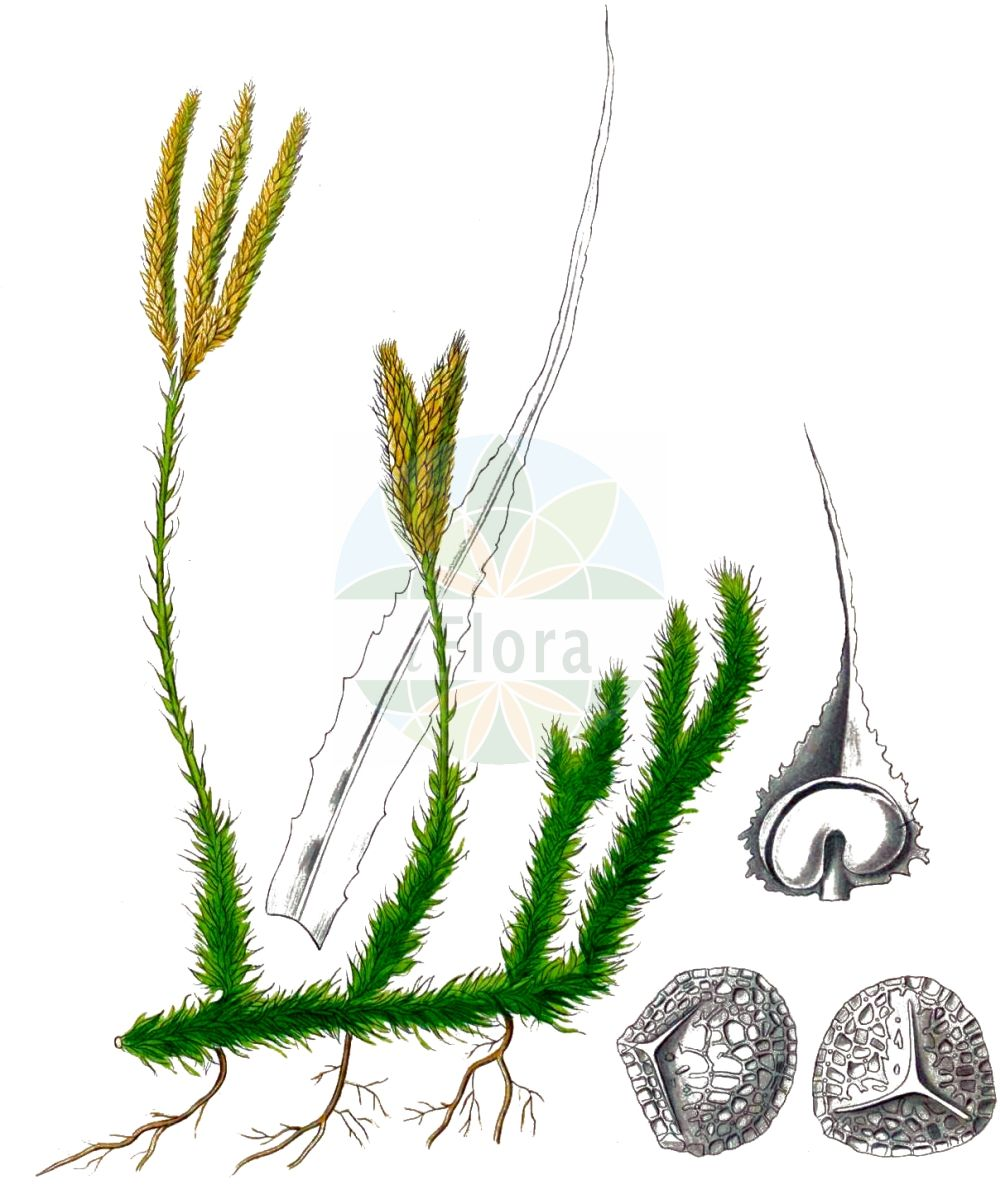 Historische Abbildung von Lycopodium clavatum (Keulen-Baerlapp - Stag's-horn Clubmoss). Das Bild zeigt Blatt, Bluete, Frucht und Same. ---- Historical Drawing of Lycopodium clavatum (Keulen-Baerlapp - Stag's-horn Clubmoss).The image is showing leaf, flower, fruit and seed.(Lycopodium clavatum,Keulen-Baerlapp,Stag's-horn Clubmoss,Lycopodium clavatum,Lycopodium lagopus,Keulen-Baerlapp,Schlangenmoos,Drudenfuss,Wolfsraute,Stag's-horn Clubmoss,Common Clubmoss,One-cone Clubmoss,Running Clubmoss,Ground Pine,Lycopodium,Baerlapp,Clubmoss,Lycopodiaceae,Baerlappgewaechse,Clubmoss family,Blatt,Bluete,Frucht,Same,leaf,flower,fruit,seed,Kohl (1891-1895))