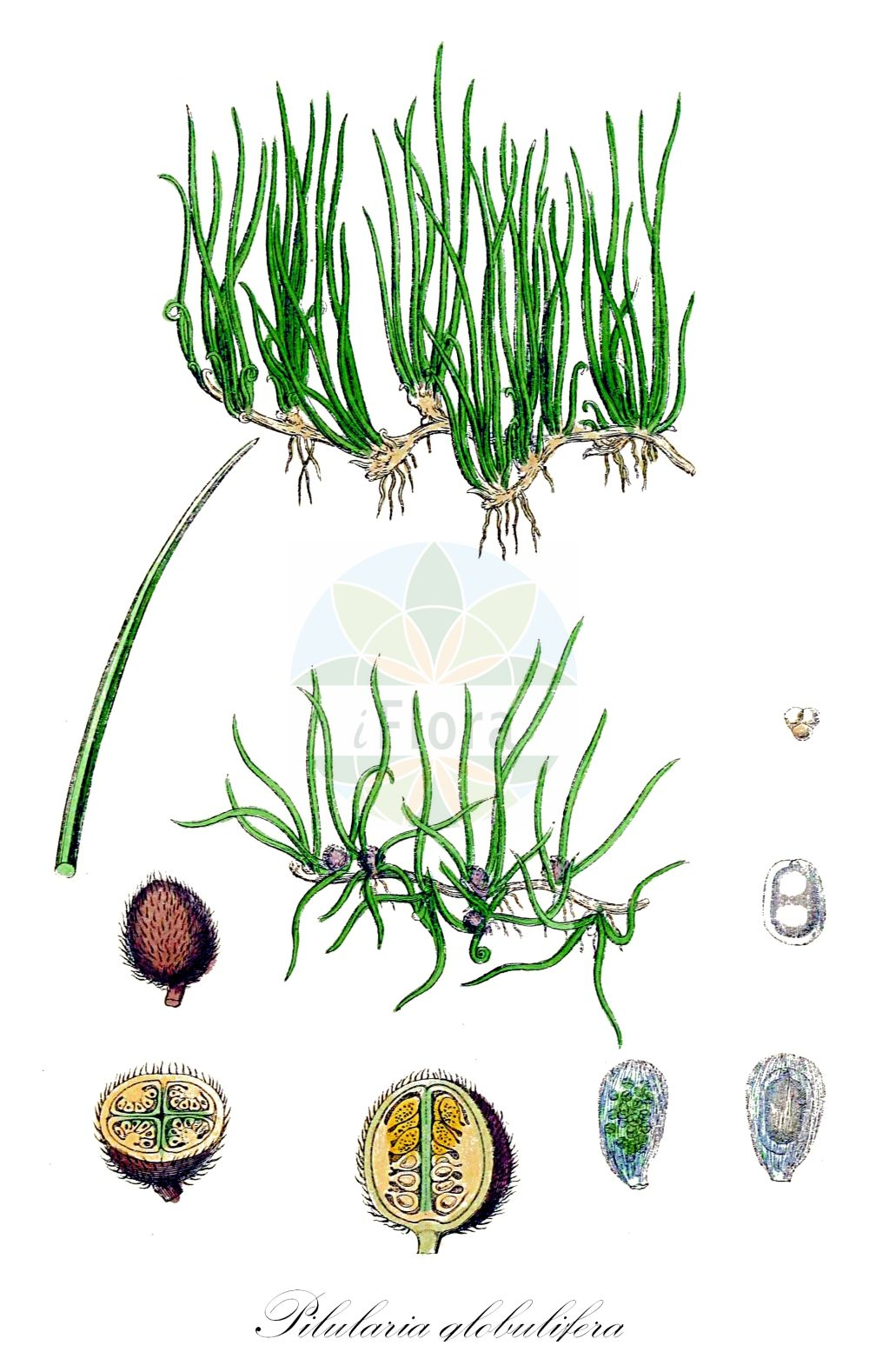 Historische Abbildung von Pilularia globulifera (Kugel-Pillenfarn - Pillwort). Das Bild zeigt Blatt, Bluete, Frucht und Same. ---- Historical Drawing of Pilularia globulifera (Kugel-Pillenfarn - Pillwort).The image is showing leaf, flower, fruit and seed. (Pilularia globulifera,Kugel-Pillenfarn,Pillwort,Pillenfarn,Pilularia,Pillenfarn,Pillwort,Marsileaceae,Kleefarngewaechse,Waterclover family,Blatt,Bluete,Frucht,Same,leaf,flower,fruit,seed,Sowerby (1790-1813))