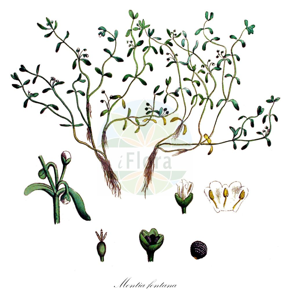 Historische Abbildung von Montia fontana (Quellkraut - Blinks). Das Bild zeigt Blatt, Bluete, Frucht und Same. ---- Historical Drawing of Montia fontana (Quellkraut - Blinks).The image is showing leaf, flower, fruit and seed. (Montia fontana,Quellkraut,Blinks,Montia rivularis,Montia verna,Acker-,Annual Water Minerslettuce,Montia,Quellkraut,Minerslettuce,Montiaceae,Quellkrautgewaechse,Montia family,Blatt,Bluete,Frucht,Same,leaf,flower,fruit,seed,Kops (1800-1934))