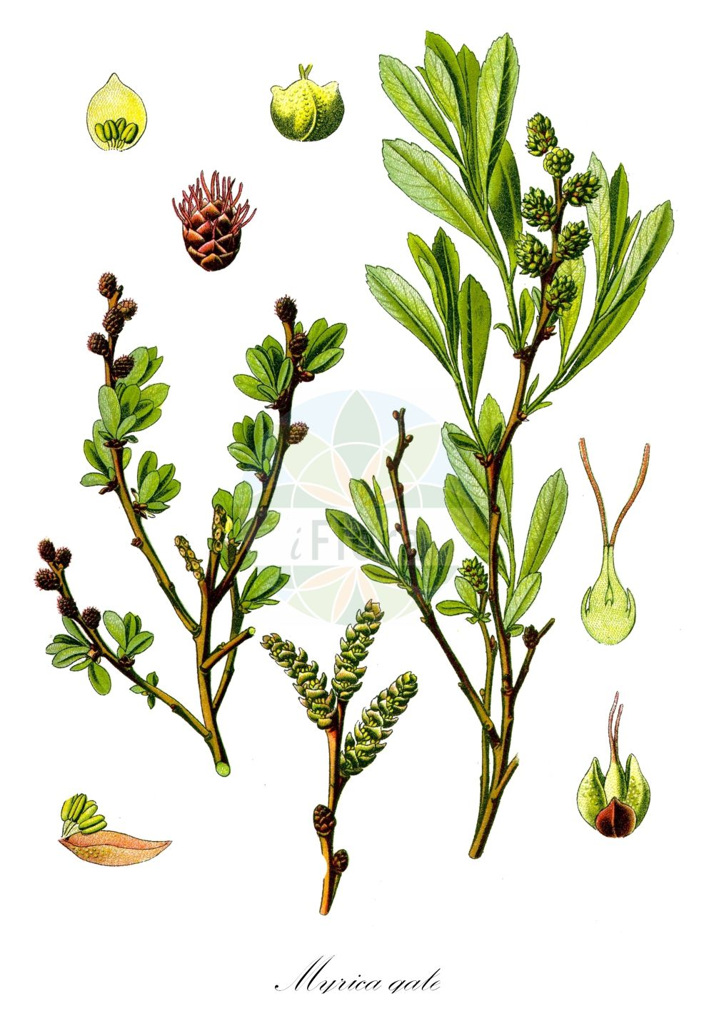 Historische Abbildung von Myrica gale (Gewoehnlicher Gagelstrauch - Bog-myrtle). Das Bild zeigt Blatt, Bluete, Frucht und Same. ---- Historical Drawing of Myrica gale (Gewoehnlicher Gagelstrauch - Bog-myrtle).The image is showing leaf, flower, fruit and seed. (Myrica gale,Gewoehnlicher Gagelstrauch,Bog-myrtle,Gale palustris,,Gagelstrauch,Bog Gale,Dutch Myrtle,Moor Myrtle,Sweet Gale,Waxberry,Myrica,Gagelstrauch,Sweetgale,Myricaceae,Gagelstrauchgewaechse,Sweetgale family,Blatt,Bluete,Frucht,Same,leaf,flower,fruit,seed,Thomé (1885))