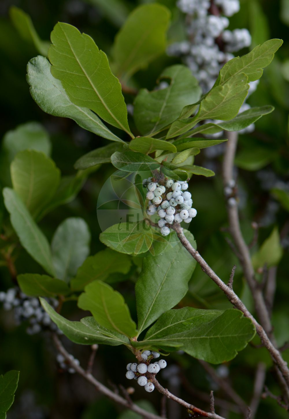Foto von Morella pensylvanica (Amerikanischer Gagelstrauch - Bayberry). Das Foto wurde in Lyon, Auvergne-Rhône-Alpes, Frankreich aufgenommen. ---- Photo of Morella pensylvanica (Amerikanischer Gagelstrauch - Bayberry).The picture was taken in Lyon, Auvergne-Rhône-Alpes, France. (Morella pensylvanica,Amerikanischer Gagelstrauch,Bayberry,Myrica caroliniensis,Myrica pensylvanica,Morella,Myricaceae,Gagelstrauchgewaechse,Sweetgale family)