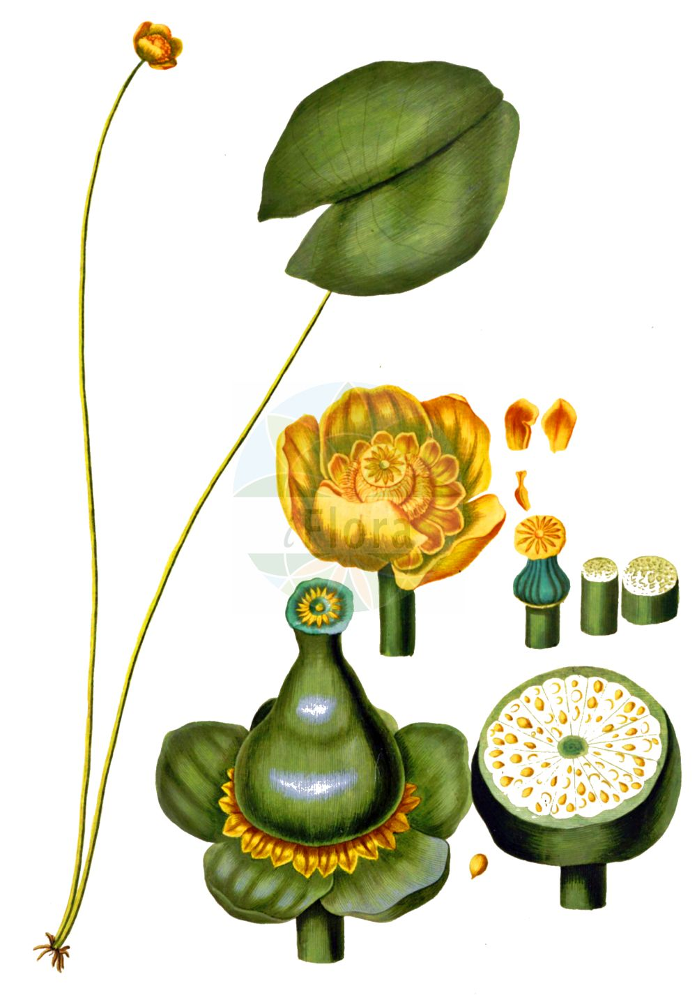 Historische Abbildung von Nuphar lutea (Gelbe Teichrose - Yellow Water-lily). Das Bild zeigt Blatt, Bluete, Frucht und Same. ---- Historical Drawing of Nuphar lutea (Gelbe Teichrose - Yellow Water-lily).The image is showing leaf, flower, fruit and seed.(Nuphar lutea,Gelbe Teichrose,Yellow Water-lily,Nenuphar luteum,Nuphar lutea,Nuphar sericea,Nymphaea lutea,Nymphozanthus luteus,Gelbe Teichrose,Grosse Teichrose,Mummel,Yellow Water-lily,Cow Lily,Spatterdock,Yellow Pond Lily,Nuphar,Teichrose,Pond-lily,Nymphaeaceae,Seerosengewaechse,Water-lily family,Blatt,Bluete,Frucht,Same,leaf,flower,fruit,seed,Oeder (1761-1883))