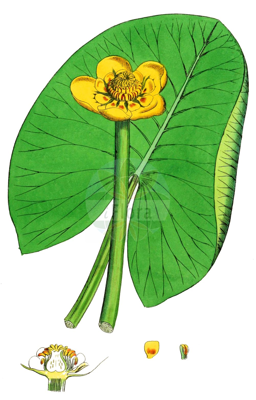 Historische Abbildung von Nuphar lutea (Gelbe Teichrose - Yellow Water-lily). Das Bild zeigt Blatt, Bluete, Frucht und Same. ---- Historical Drawing of Nuphar lutea (Gelbe Teichrose - Yellow Water-lily).The image is showing leaf, flower, fruit and seed.(Nuphar lutea,Gelbe Teichrose,Yellow Water-lily,Nenuphar luteum,Nuphar lutea,Nuphar sericea,Nymphaea lutea,Nymphozanthus luteus,Gelbe Teichrose,Grosse Teichrose,Mummel,Yellow Water-lily,Cow Lily,Spatterdock,Yellow Pond Lily,Nuphar,Teichrose,Pond-lily,Nymphaeaceae,Seerosengewaechse,Water-lily family,Blatt,Bluete,Frucht,Same,leaf,flower,fruit,seed,Sowerby (1790-1813))