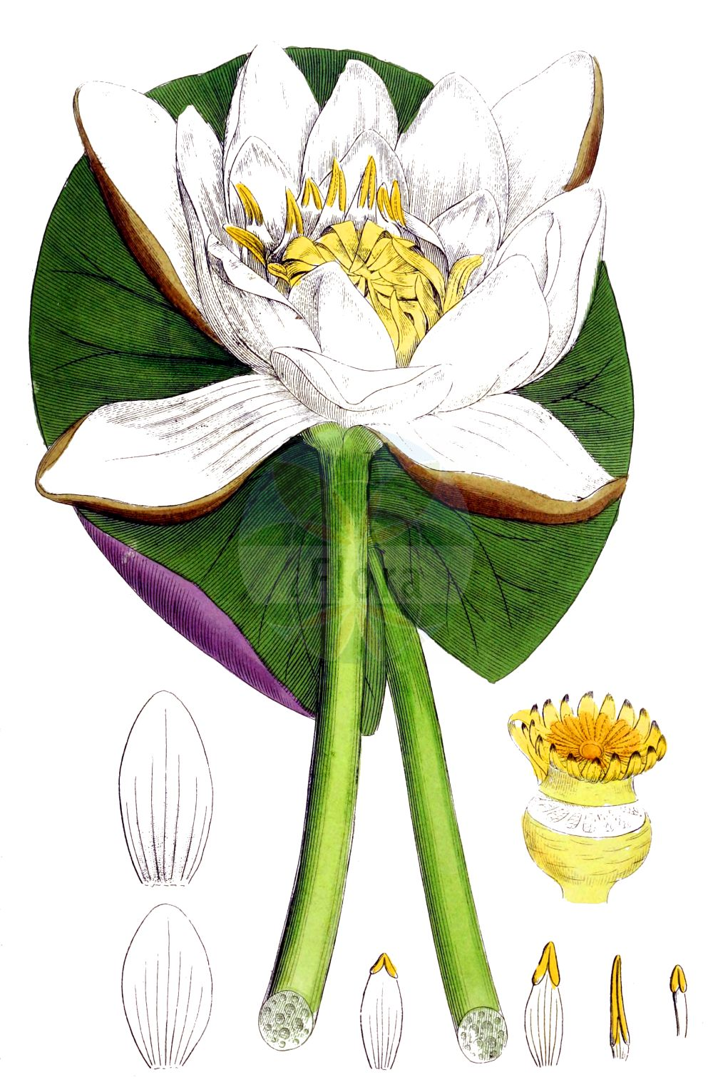 Historische Abbildung von Nymphaea alba (Weisse Seerose - White Water-lily). Das Bild zeigt Blatt, Bluete, Frucht und Same. ---- Historical Drawing of Nymphaea alba (Weisse Seerose - White Water-lily).The image is showing leaf, flower, fruit and seed.(Nymphaea alba,Weisse Seerose,White Water-lily,Castalia alba,Nymphaea alba,Nymphaea minoriflora,Nymphaea occidentalis,Weisse Seerose,White Water-lily,European White Waterlily,Nymphaea,Seerose,Water-lily,Nymphaeaceae,Seerosengewaechse,Water-lily family,Blatt,Bluete,Frucht,Same,leaf,flower,fruit,seed,Sowerby (1790-1813))