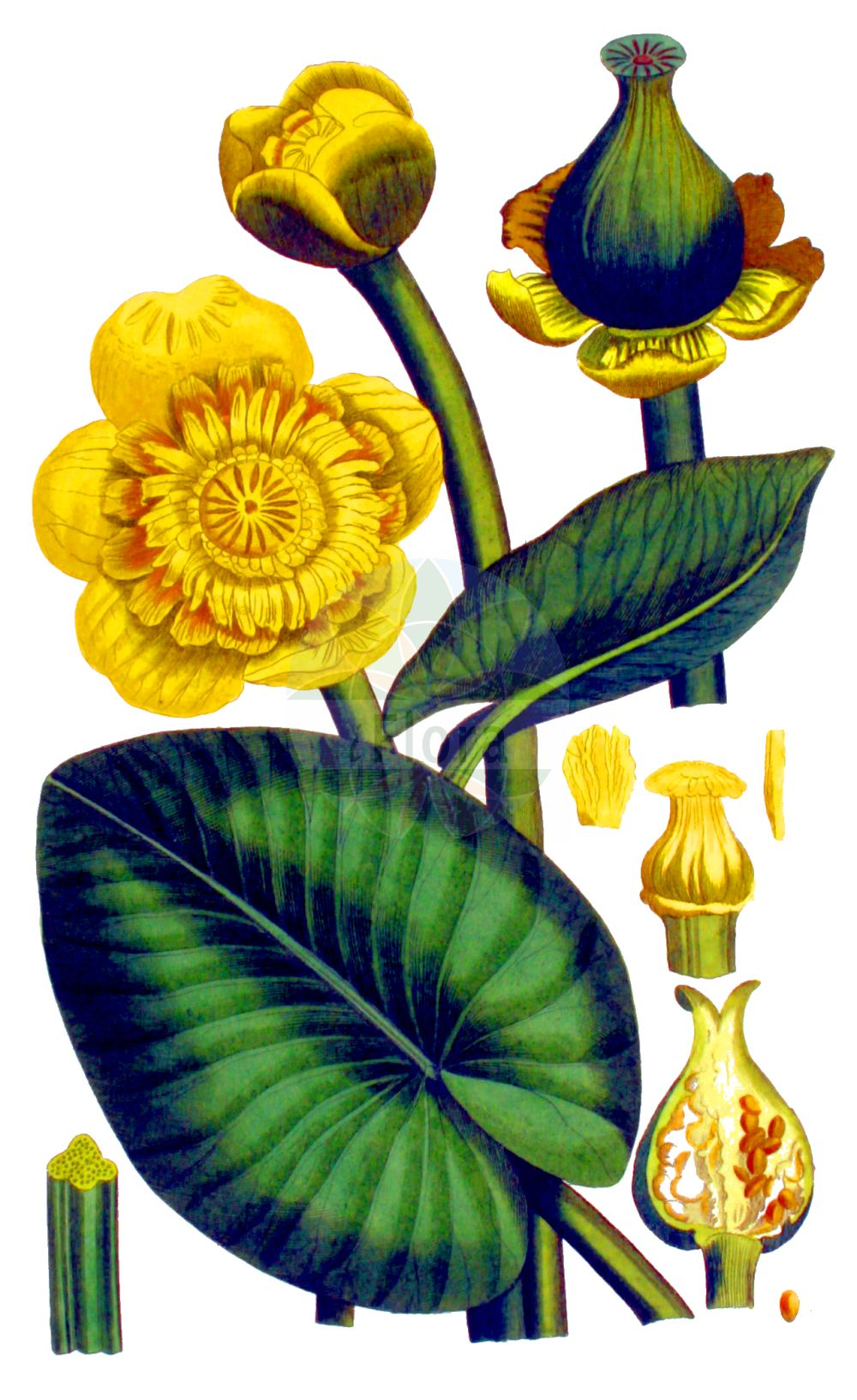 Historische Abbildung von Nuphar lutea (Gelbe Teichrose - Yellow Water-lily). Das Bild zeigt Blatt, Bluete, Frucht und Same. ---- Historical Drawing of Nuphar lutea (Gelbe Teichrose - Yellow Water-lily).The image is showing leaf, flower, fruit and seed.(Nuphar lutea,Gelbe Teichrose,Yellow Water-lily,Nenuphar luteum,Nuphar lutea,Nuphar sericea,Nymphaea lutea,Nymphozanthus luteus,Gelbe Teichrose,Grosse Teichrose,Mummel,Yellow Water-lily,Cow Lily,Spatterdock,Yellow Pond Lily,Nuphar,Teichrose,Pond-lily,Nymphaeaceae,Seerosengewaechse,Water-lily family,Blatt,Bluete,Frucht,Same,leaf,flower,fruit,seed,Kops (1800-1934))