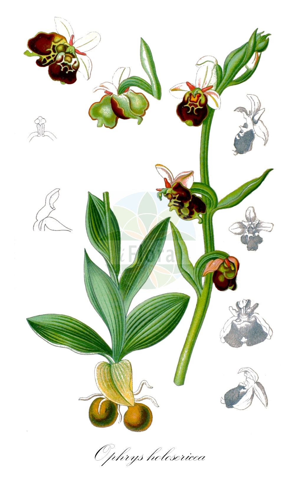 Historische Abbildung von Ophrys holosericea (Hummel-Ragwurz - Late Spider-orchid). ---- Historical Drawing of Ophrys holosericea (Hummel-Ragwurz - Late Spider-orchid).(Ophrys holosericea,Hummel-Ragwurz,Late Spider-orchid,Arachnites fuciflora,Arachnites oxyrhynchus,Epipactis arachnites,Ophrys aegirtica,Ophrys annae,Ophrys aramaeorum,Ophrys baeteniorum,Ophrys bombyliflora,Ophrys brachyotes,Ophrys candica,Ophrys colossaea,Ophrys dinarica,Ophrys druentica,Ophrys elatior,Ophrys episcopalis,Ophrys flavescens,Ophrys fuciflora,Ophrys gracilis,Ophrys gresivaudanica,Ophrys halia,Ophrys helios,Ophrys kranjcevii,Ophrys linearis,Ophrys maxima,Ophrys medea,Ophrys minoa,Ophrys nicotiae,Ophrys obscura,Ophrys oestrifera,Ophrys pharia,Ophrys posidonia,Ophrys serotina,Ophrys tetraloniae,Ophrys truncata,Ophrys untchjii,Orchis arachnites,Orchis fuciflora,Ophrys,Ragwurz,Bee Orchid,Orchidaceae,Knabenkrautgewaechse;Orchideen,Orchid family,Schulze (1892-1894))