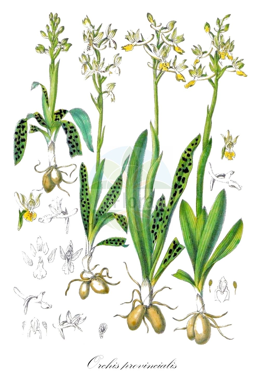 Historische Abbildung von Orchis provincialis. Das Bild zeigt Blatt, Bluete, Frucht und Same. ---- Historical Drawing of Orchis provincialis.The image is showing leaf, flower, fruit and seed.(Orchis provincialis,Androrchis provincialis,Orchis cyrilli,Orchis leucostachya,Orchis mascula,Orchis olbiensis,Orchis pallens,Orchis pseudopallens,Orchis,Knabenkraut,Orchidaceae,Knabenkrautgewaechse;Orchideen,Orchid family,Blatt,Bluete,Frucht,Same,leaf,flower,fruit,seed,Barla (1868))