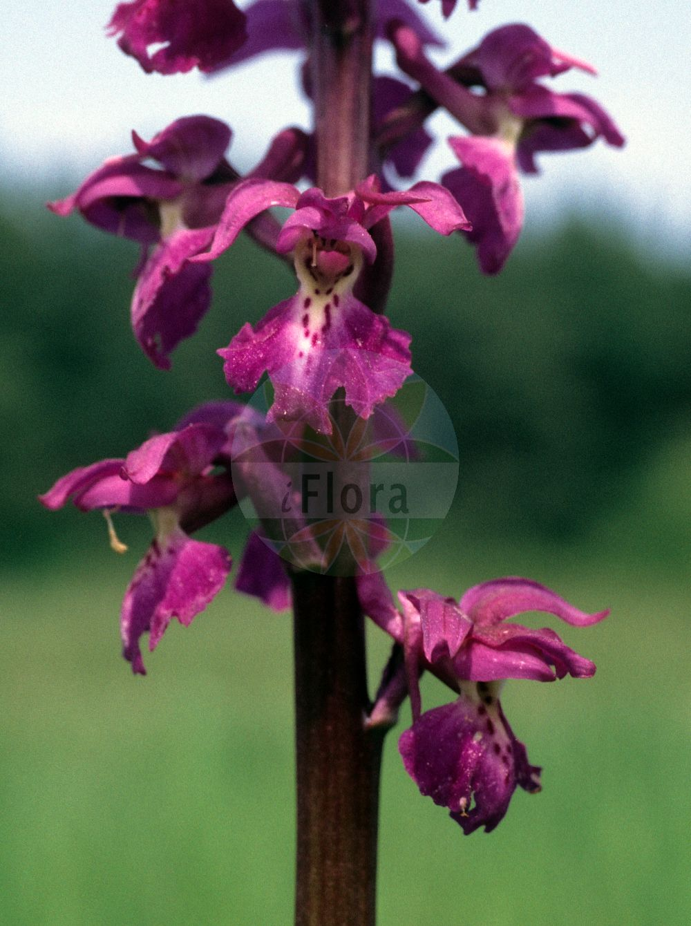 Foto von Orchis mascula (Maennliches Knabenkraut - Early-purple Orchid). ---- Photo of Orchis mascula (Maennliches Knabenkraut - Early-purple Orchid).(Orchis mascula,Maennliches Knabenkraut,Early-purple Orchid,Androrchis mascula,Orchis morio var. mascula,Kuckucks-Knabenkraut,Blue Butcher,Blue Butcher Orchid,Male Orchid,Orchis,Knabenkraut,Orchidaceae,Knabenkrautgewaechse;Orchideen,Orchid family)