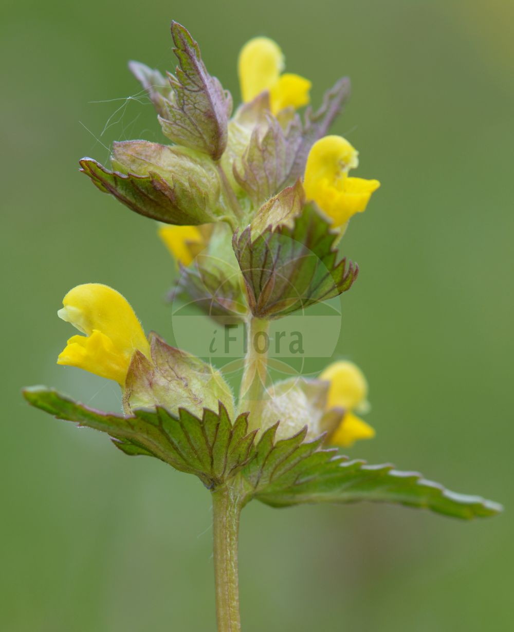 Foto von Rhinanthus minor (Kleiner Klappertopf - Yellow-rattle). Das Bild zeigt Blatt und Bluete. Das Foto wurde in Wetteraukreis, Hessen, Deutschland, Wetterau und Giessener Becken aufgenommen. ---- Photo of Rhinanthus minor (Kleiner Klappertopf - Yellow-rattle).The image is showing leaf and flower.The picture was taken in Wetterau district, Hesse, Germany, Wetterau and Giessener Becken.(Rhinanthus minor,Kleiner Klappertopf,Yellow-rattle,Alectorolophus borealis,Alectorolophus crista-galli,Alectorolophus drummond-hayi,Alectorolophus minor,Alectorolophus monticola,Alectorolophus parviflorus,Alectorolophus rusticulus,Alectorolophus stenophyllus,Rhinanthus balticus,Rhinanthus borealis,Rhinanthus crista-galli L. var.,Rhinanthus hercynicus,L. subsp.,L. var.,Rhinanthus nigricans,Rhinanthus rusticulus,Rhinanthus stenophyllus,Cockscomb Rattleweed,Little Yellow Rattle,Lesser Yellow Rattle,Rhinanthus,Klappertopf,Yellow Rattle,Orobanchaceae,Sommerwurzgewaechse,Broomrape family,Blatt,Bluete,leaf,flower)