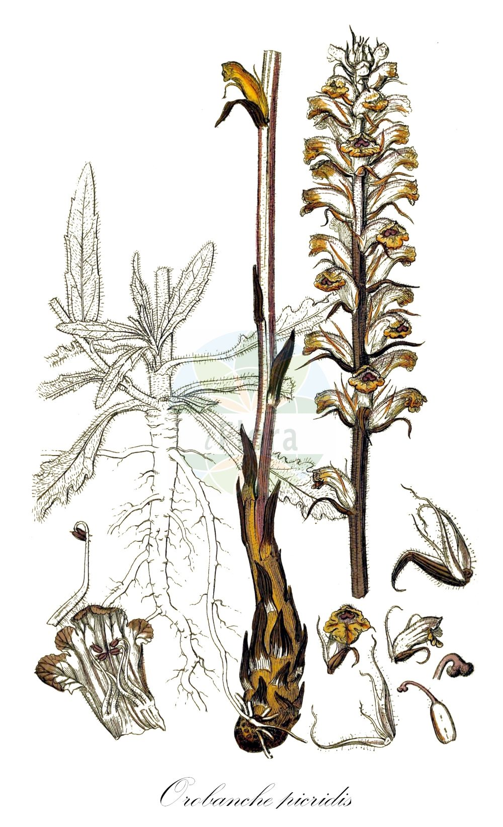 Historische Abbildung von Orobanche picridis (Panzer-Sommerwurz - Oxtongue Broomrape). Das Bild zeigt Blatt, Bluete, Frucht und Same. ---- Historical Drawing of Orobanche picridis (Panzer-Sommerwurz - Oxtongue Broomrape).The image is showing leaf, flower, fruit and seed.(Orobanche picridis,Panzer-Sommerwurz,Oxtongue Broomrape,Picris Broomrape,Orobanche,Sommerwurz,Broomrape,Orobanchaceae,Sommerwurzgewaechse,Broomrape family,Blatt,Bluete,Frucht,Same,leaf,flower,fruit,seed,Sowerby (1790-1813))