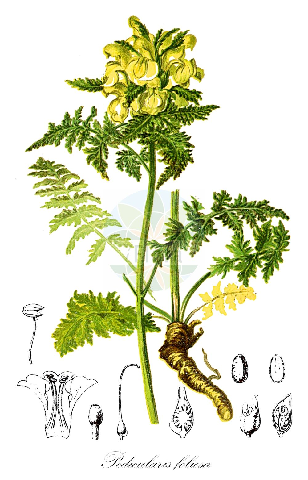 Historische Abbildung von Pedicularis foliosa (Durchblaettertes Laeusekraut - Leafy Lousewort). Das Bild zeigt Blatt, Bluete, Frucht und Same. ---- Historical Drawing of Pedicularis foliosa (Durchblaettertes Laeusekraut - Leafy Lousewort).The image is showing leaf, flower, fruit and seed.(Pedicularis foliosa,Durchblaettertes Laeusekraut,Leafy Lousewort,Vielblaettriges Laeusekraut,Pedicularis,Laeusekraut,Lousewort,Orobanchaceae,Sommerwurzgewaechse,Broomrape family,Blatt,Bluete,Frucht,Same,leaf,flower,fruit,seed,Hartinger & von Dalla Torre (1806f))