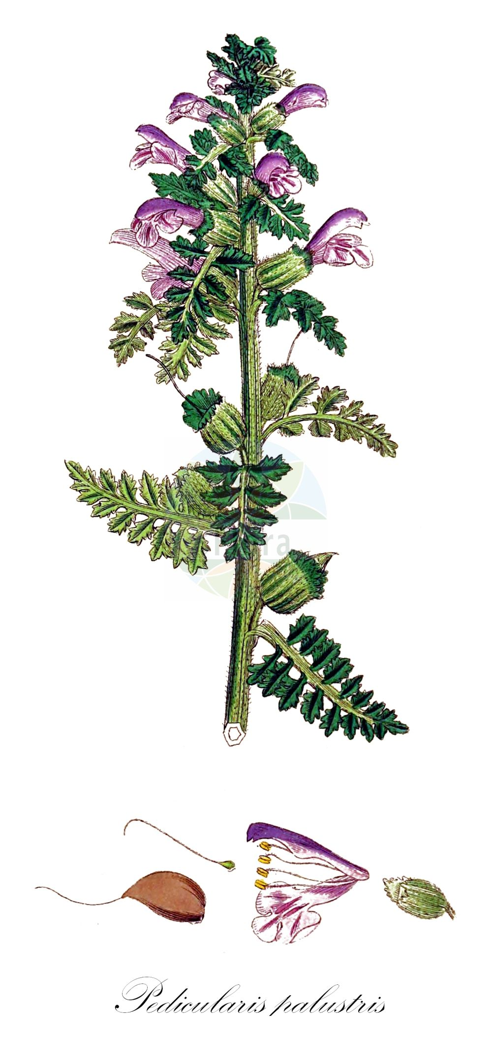 Historische Abbildung von Pedicularis palustris (Sumpf-Laeusekraut - Marsh Lousewort). Das Bild zeigt Blatt, Bluete, Frucht und Same. ---- Historical Drawing of Pedicularis palustris (Sumpf-Laeusekraut - Marsh Lousewort).The image is showing leaf, flower, fruit and seed.(Pedicularis palustris,Sumpf-Laeusekraut,Marsh Lousewort,subsp. serotina,Gewoehnliches ,European Purple Lousewort,Red Rattle,Pedicularis,Laeusekraut,Lousewort,Orobanchaceae,Sommerwurzgewaechse,Broomrape family,Blatt,Bluete,Frucht,Same,leaf,flower,fruit,seed,Sowerby (1790-1813))