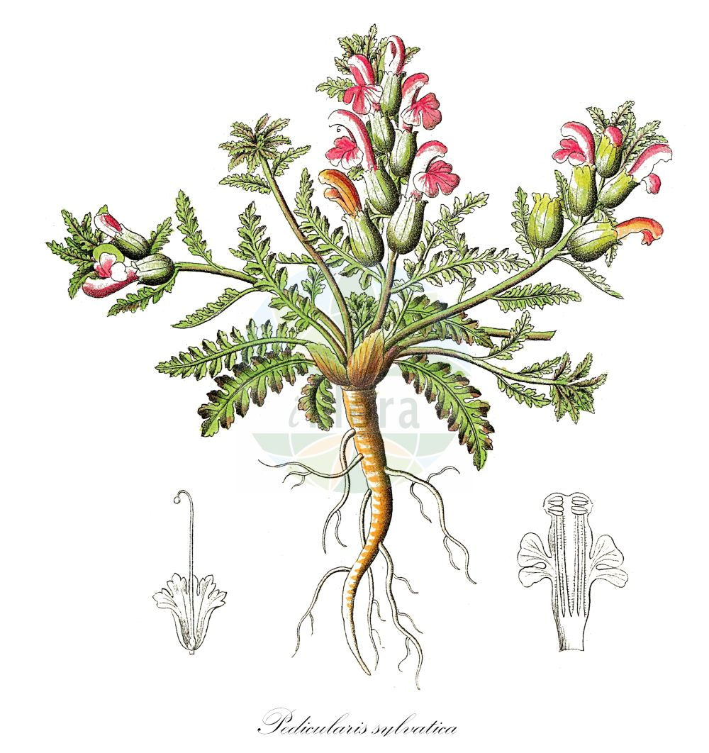 Historische Abbildung von Pedicularis sylvatica (Wald-Laeusekraut - Lousewort). Das Bild zeigt Blatt, Bluete, Frucht und Same. ---- Historical Drawing of Pedicularis sylvatica (Wald-Laeusekraut - Lousewort).The image is showing leaf, flower, fruit and seed.(Pedicularis sylvatica,Wald-Laeusekraut,Lousewort,Common ,Pedicularis,Laeusekraut,Lousewort,Orobanchaceae,Sommerwurzgewaechse,Broomrape family,Blatt,Bluete,Frucht,Same,leaf,flower,fruit,seed,Dietrich (1833-1844))