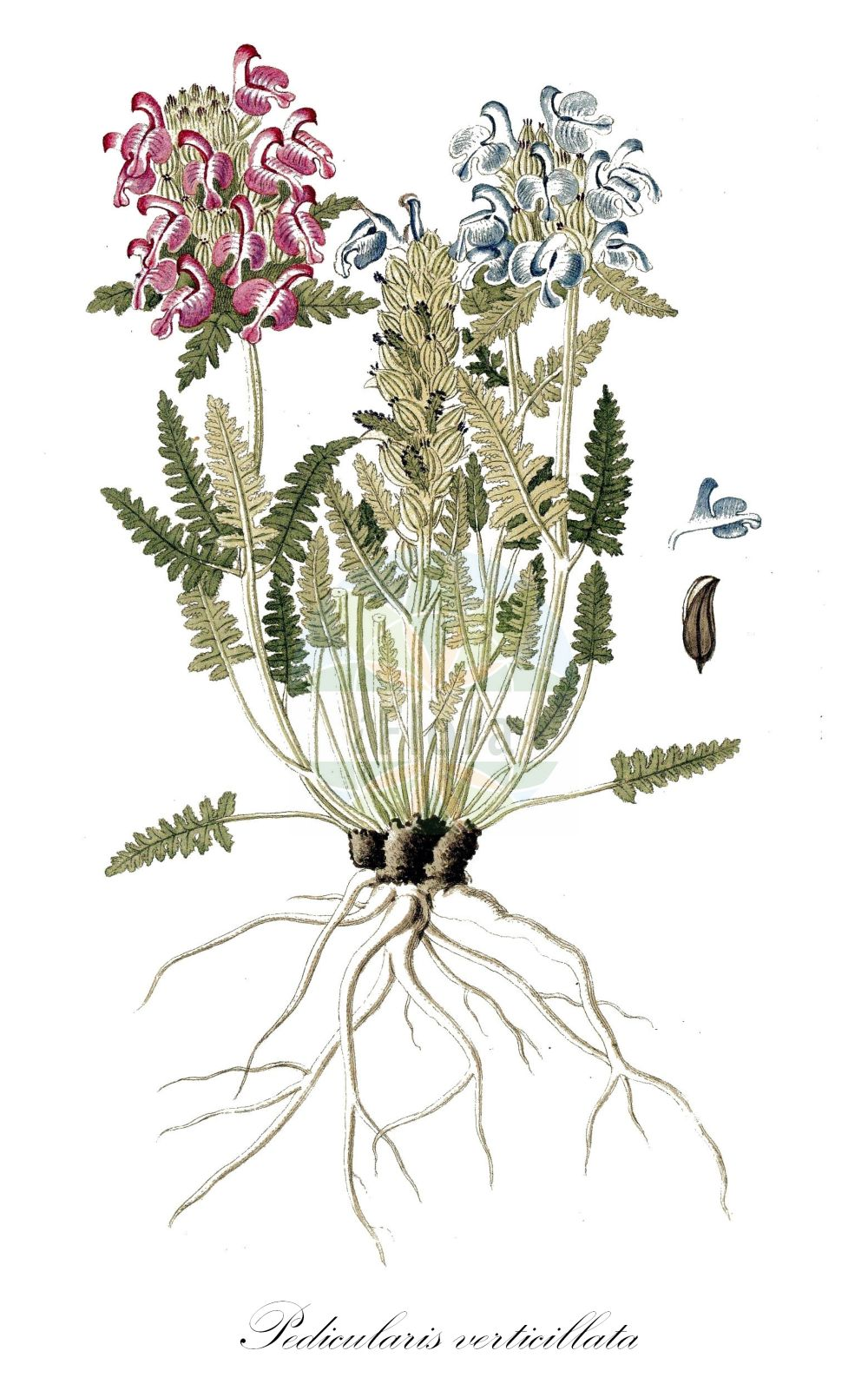 Historische Abbildung von Pedicularis verticillata (Quirlblaettriges Laeusekraut - Verticillate Lousewort). Das Bild zeigt Blatt, Bluete, Frucht und Same. ---- Historical Drawing of Pedicularis verticillata (Quirlblaettriges Laeusekraut - Verticillate Lousewort).The image is showing leaf, flower, fruit and seed.(Pedicularis verticillata,Quirlblaettriges Laeusekraut,Verticillate Lousewort,Whorled Lousewort,Pedicularis,Laeusekraut,Lousewort,Orobanchaceae,Sommerwurzgewaechse,Broomrape family,Blatt,Bluete,Frucht,Same,leaf,flower,fruit,seed,von Jacquin (1727-1817))
