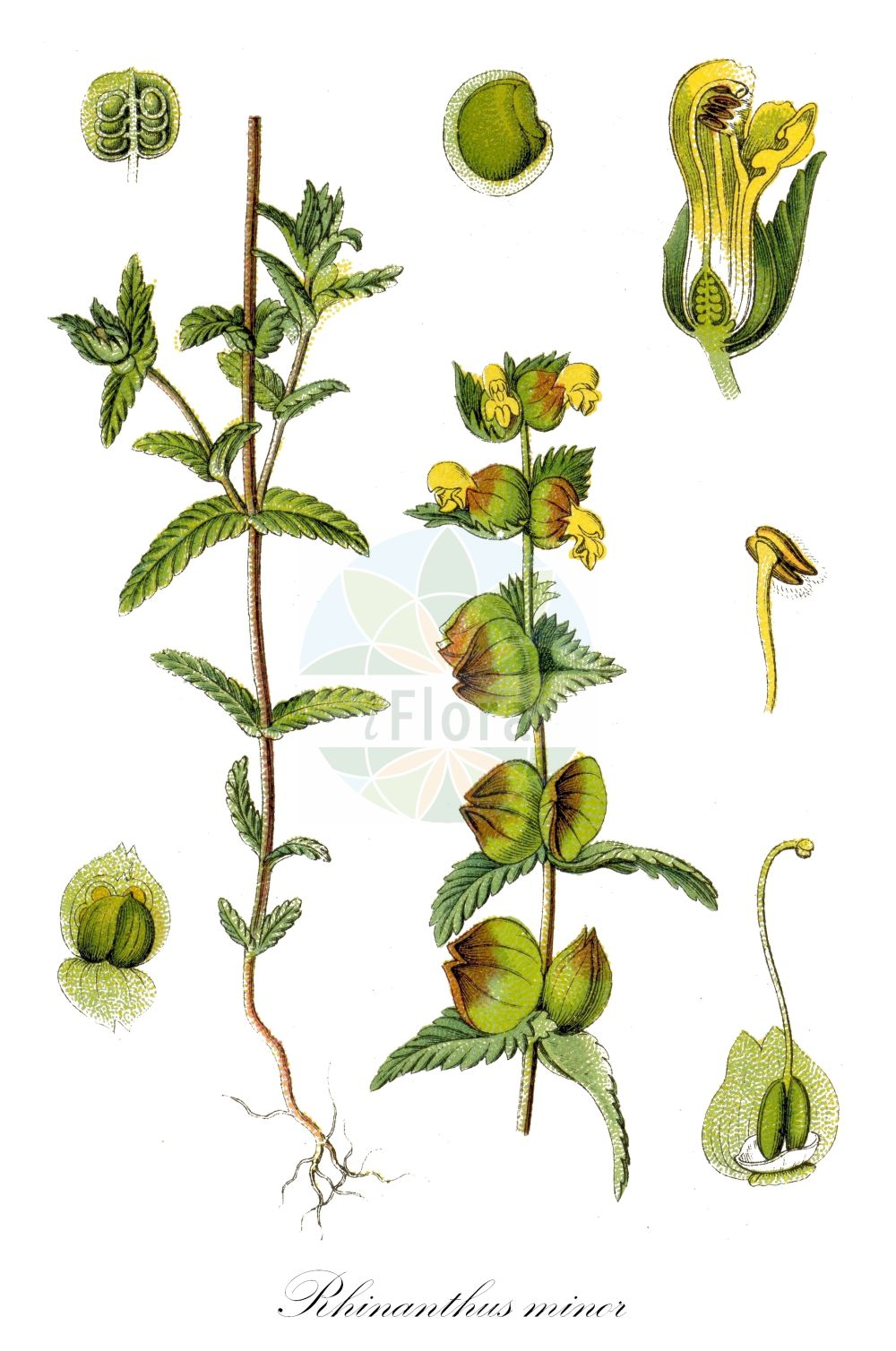 Historische Abbildung von Rhinanthus minor (Kleiner Klappertopf - Yellow-rattle). Das Bild zeigt Blatt, Bluete, Frucht und Same. ---- Historical Drawing of Rhinanthus minor (Kleiner Klappertopf - Yellow-rattle).The image is showing leaf, flower, fruit and seed.(Rhinanthus minor,Kleiner Klappertopf,Yellow-rattle,Alectorolophus borealis,Alectorolophus crista-galli,Alectorolophus drummond-hayi,Alectorolophus minor,Alectorolophus monticola,Alectorolophus parviflorus,Alectorolophus rusticulus,Alectorolophus stenophyllus,Rhinanthus balticus,Rhinanthus borealis,Rhinanthus crista-galli L. var.,Rhinanthus hercynicus,L. subsp.,L. var.,Rhinanthus nigricans,Rhinanthus rusticulus,Rhinanthus stenophyllus,Cockscomb Rattleweed,Little Yellow Rattle,Lesser Yellow Rattle,Rhinanthus,Klappertopf,Yellow Rattle,Orobanchaceae,Sommerwurzgewaechse,Broomrape family,Blatt,Bluete,Frucht,Same,leaf,flower,fruit,seed,Sturm (1796f))