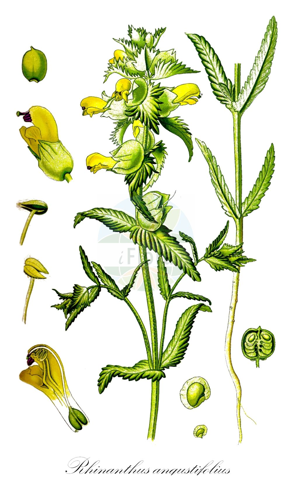 Historische Abbildung von Rhinanthus angustifolius (Acker-Klappertopf - Late-flowering Yellow Rattle). Das Bild zeigt Blatt, Bluete, Frucht und Same. ---- Historical Drawing of Rhinanthus angustifolius (Acker-Klappertopf - Late-flowering Yellow Rattle).The image is showing leaf, flower, fruit and seed.(Rhinanthus angustifolius,Acker-Klappertopf,Late-flowering Yellow Rattle,Alectorolophus angustifolius,Alectorolophus glaber,Alectorolophus major,Alectorolophus major Rchb. subsp.,Alectorolophus serotinus,Rhinanthus glaber,Rhinanthus paludosus,Rhinanthus serotinus,Rhinanthus serotinus subsp. polycladus,Grosser Klappertopf,Greater Yellow Rattle,Narrow-leaved Yellow Rattle,Southern Yellow Rattle,Rhinanthus,Klappertopf,Yellow Rattle,Orobanchaceae,Sommerwurzgewaechse,Broomrape family,Blatt,Bluete,Frucht,Same,leaf,flower,fruit,seed,Thomé (1885))