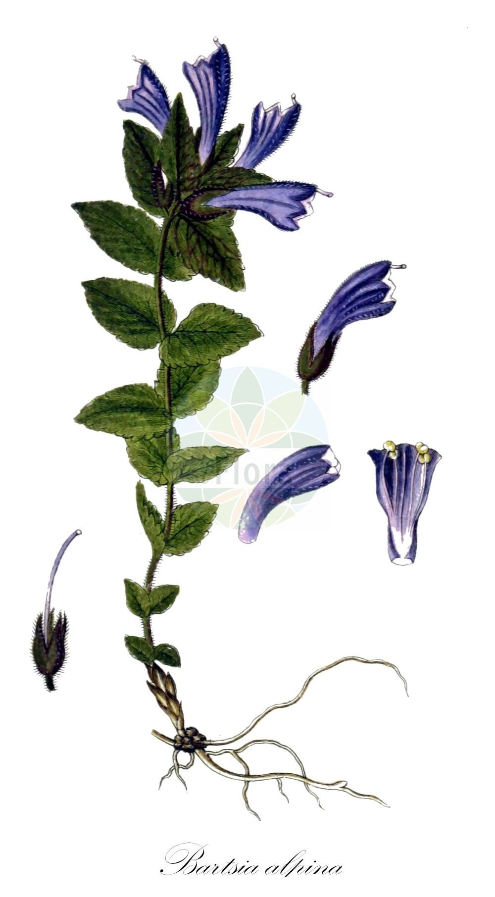 Historische Abbildung von Bartsia alpina (Alpenhelm - Alpine Bartsia). Das Bild zeigt Blatt, Bluete, Frucht und Same. ---- Historical Drawing of Bartsia alpina (Alpenhelm - Alpine Bartsia).The image is showing leaf, flower, fruit and seed.(Bartsia alpina,Alpenhelm,Alpine Bartsia,Alpen-Bartschie,Europaeischer Trauerblume,Velvetbells,Bartsia,Bartschie,Velvetbells,Orobanchaceae,Sommerwurzgewaechse,Broomrape family,Blatt,Bluete,Frucht,Same,leaf,flower,fruit,seed,Sturm (1796f))