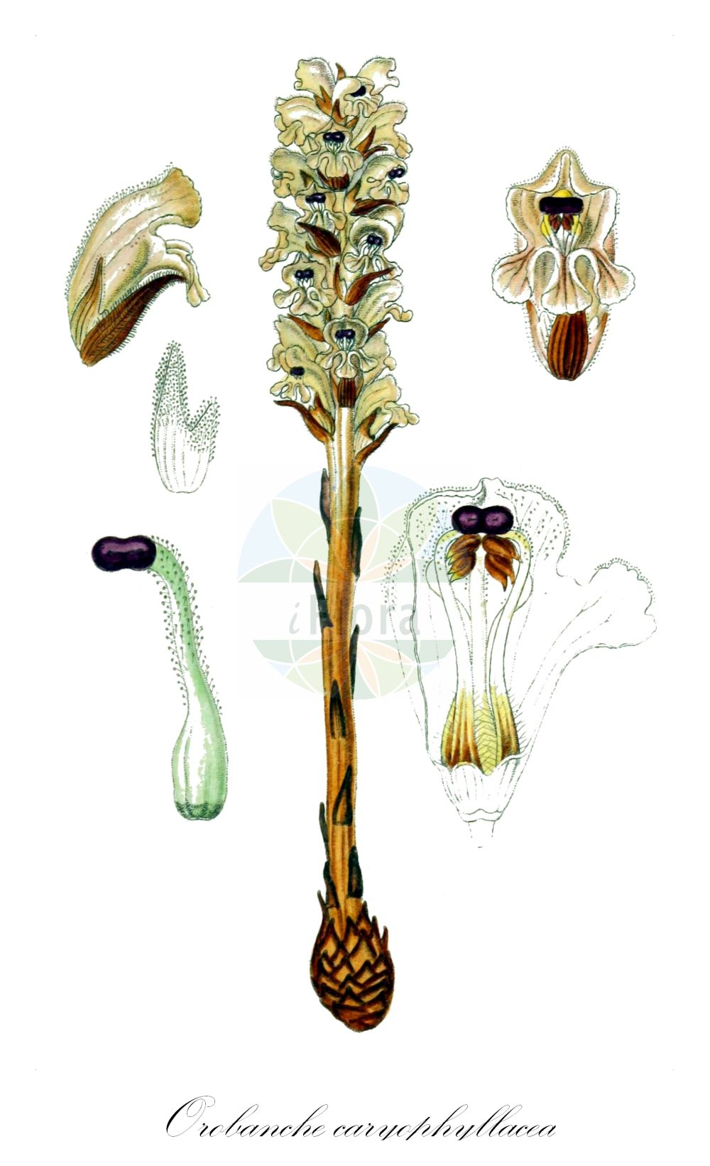 Historische Abbildung von Orobanche caryophyllacea (Nelken-Sommerwurz - Bedstraw Broomrape). Das Bild zeigt Blatt, Bluete, Frucht und Same. ---- Historical Drawing of Orobanche caryophyllacea (Nelken-Sommerwurz - Bedstraw Broomrape).The image is showing leaf, flower, fruit and seed.(Orobanche caryophyllacea,Nelken-Sommerwurz,Bedstraw Broomrape,Orobanche buhsei,Orobanche clausonis,Orobanche galii,Orobanche hesperina,Orobanche vulgaris,Gemeine Sommerwurz,Clove-scented Broomrape,Orobanche,Sommerwurz,Broomrape,Orobanchaceae,Sommerwurzgewaechse,Broomrape family,Blatt,Bluete,Frucht,Same,leaf,flower,fruit,seed,Sturm (1796f))