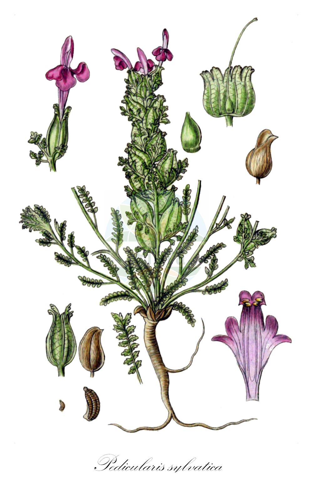 Historische Abbildung von Pedicularis sylvatica (Wald-Laeusekraut - Lousewort). Das Bild zeigt Blatt, Bluete, Frucht und Same. ---- Historical Drawing of Pedicularis sylvatica (Wald-Laeusekraut - Lousewort).The image is showing leaf, flower, fruit and seed.(Pedicularis sylvatica,Wald-Laeusekraut,Lousewort,Common ,Pedicularis,Laeusekraut,Lousewort,Orobanchaceae,Sommerwurzgewaechse,Broomrape family,Blatt,Bluete,Frucht,Same,leaf,flower,fruit,seed,Sturm (1796f))