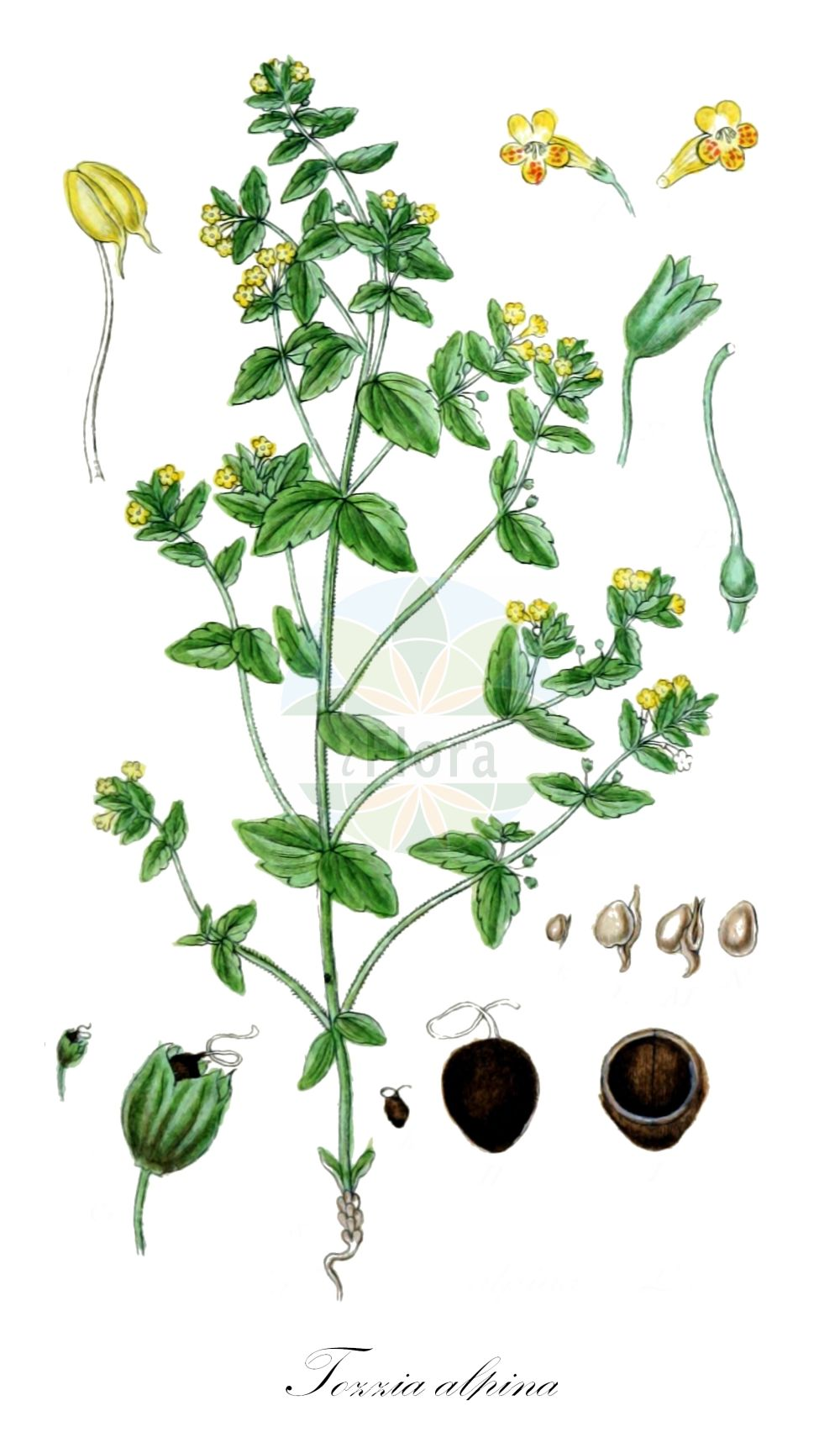 Historische Abbildung von Tozzia alpina (Alpenrachen - Alpine Tozzia). Das Bild zeigt Blatt, Bluete, Frucht und Same. ---- Historical Drawing of Tozzia alpina (Alpenrachen - Alpine Tozzia).The image is showing leaf, flower, fruit and seed.(Tozzia alpina,Alpenrachen,Alpine Tozzia,Tozzie,Tozzia,Alpenrachen,Orobanchaceae,Sommerwurzgewaechse,Broomrape family,Blatt,Bluete,Frucht,Same,leaf,flower,fruit,seed,Sturm (1796f))