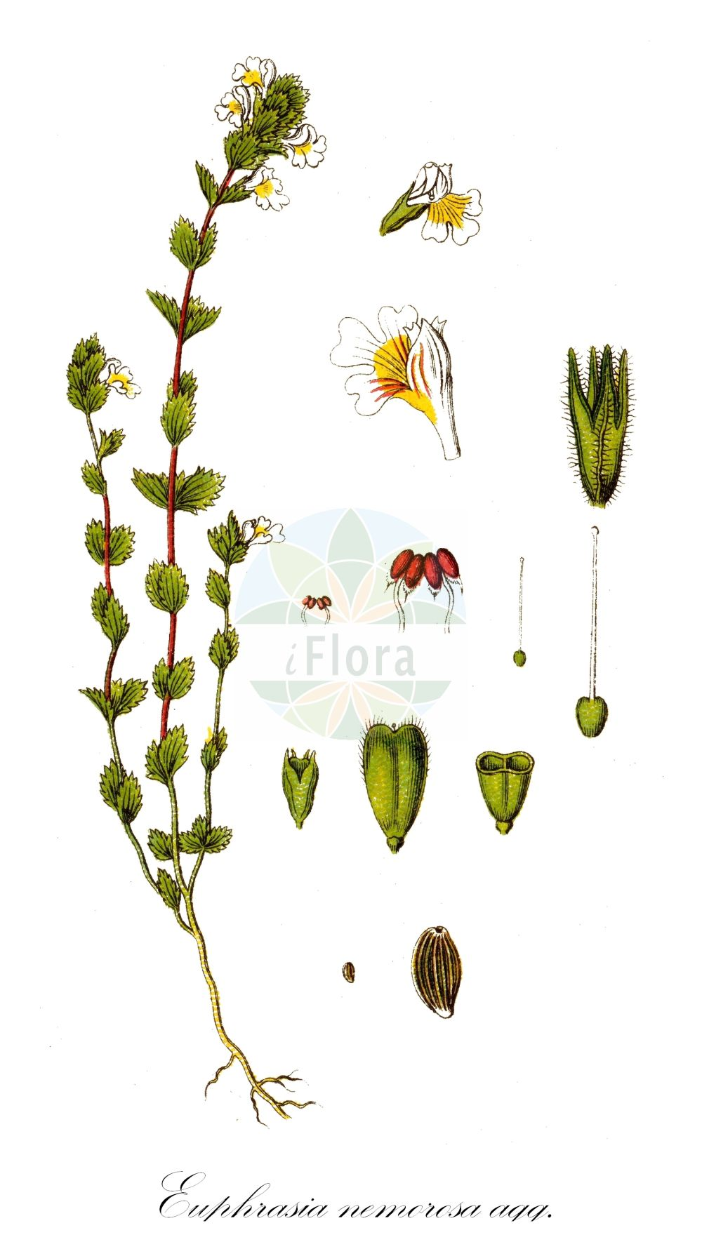 Historische Abbildung von Euphrasia nemorosa agg. (Hain-Augentrost - Wind Eyebright). Das Bild zeigt Blatt, Bluete, Frucht und Same. ---- Historical Drawing of Euphrasia nemorosa agg. (Hain-Augentrost - Wind Eyebright).The image is showing leaf, flower, fruit and seed.(Euphrasia nemorosa agg.,Hain-Augentrost,Wind Eyebright,Gewoehnlicher ,Euphrasia,Augentrost,Eyebright,Orobanchaceae,Sommerwurzgewaechse,Broomrape family,Blatt,Bluete,Frucht,Same,leaf,flower,fruit,seed,Sturm (1796f))