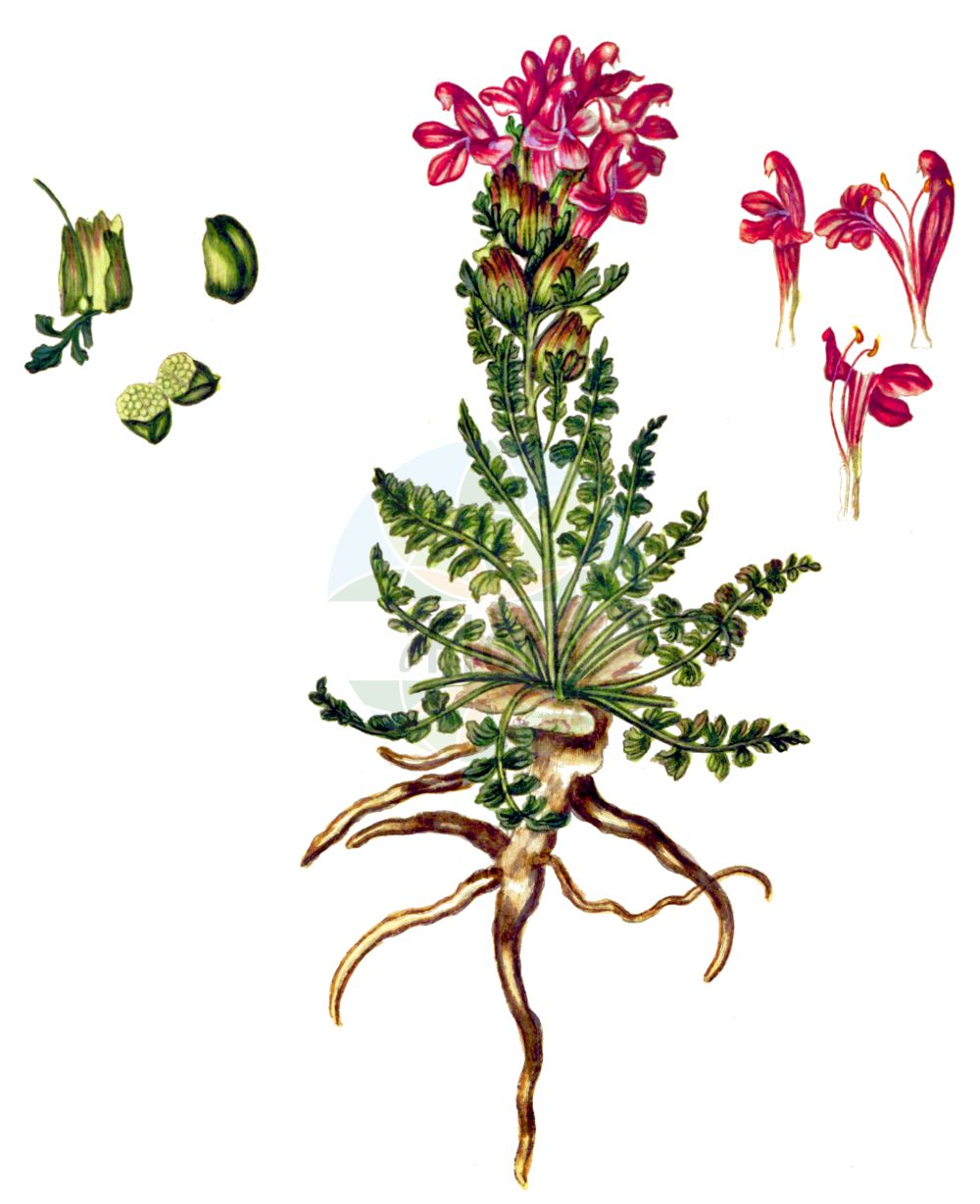 Historische Abbildung von Pedicularis sylvatica (Wald-Laeusekraut - Lousewort). Das Bild zeigt Blatt, Bluete, Frucht und Same. ---- Historical Drawing of Pedicularis sylvatica (Wald-Laeusekraut - Lousewort).The image is showing leaf, flower, fruit and seed.(Pedicularis sylvatica,Wald-Laeusekraut,Lousewort,Pedicularis sylvatica,Wald-Laeusekraut,Lousewort,Common Lousewort,Pedicularis,Laeusekraut,Lousewort,Orobanchaceae,Sommerwurzgewaechse,Broomrape family,Blatt,Bluete,Frucht,Same,leaf,flower,fruit,seed,Oeder (1761-1883))