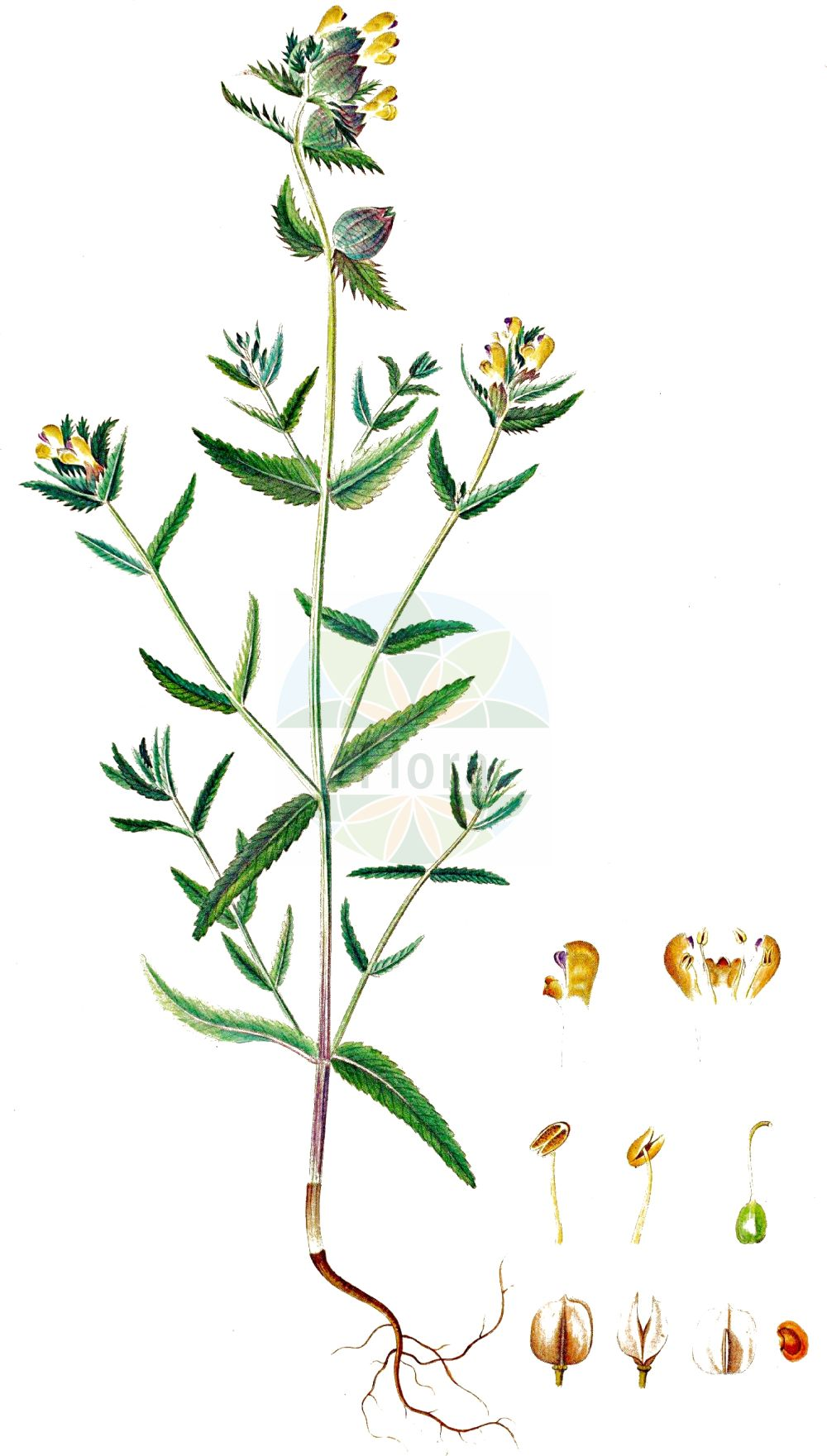 Historische Abbildung von Rhinanthus minor (Kleiner Klappertopf - Yellow-rattle). Das Bild zeigt Blatt, Bluete, Frucht und Same. ---- Historical Drawing of Rhinanthus minor (Kleiner Klappertopf - Yellow-rattle).The image is showing leaf, flower, fruit and seed.(Rhinanthus minor,Kleiner Klappertopf,Yellow-rattle,Alectorolophus borealis,Alectorolophus crista-galli,Alectorolophus drummond-hayi,Alectorolophus minor,Alectorolophus monticola,Alectorolophus parviflorus,Alectorolophus rusticulus,Alectorolophus stenophyllus,Rhinanthus balticus,Rhinanthus borealis,Rhinanthus crista-galli L. var.,Rhinanthus hercynicus,Rhinanthus minor,Rhinanthus minor L. subsp.,Rhinanthus minor L. var.,Rhinanthus nigricans,Rhinanthus rusticulus,Rhinanthus stenophyllus,Kleiner Klappertopf,Yellow-rattle,Cockscomb Rattleweed,Little Yellow Rattle,Lesser Yellow Rattle,Rhinanthus,Klappertopf,Yellow Rattle,Orobanchaceae,Sommerwurzgewaechse,Broomrape family,Blatt,Bluete,Frucht,Same,leaf,flower,fruit,seed,Oeder (1761-1883))